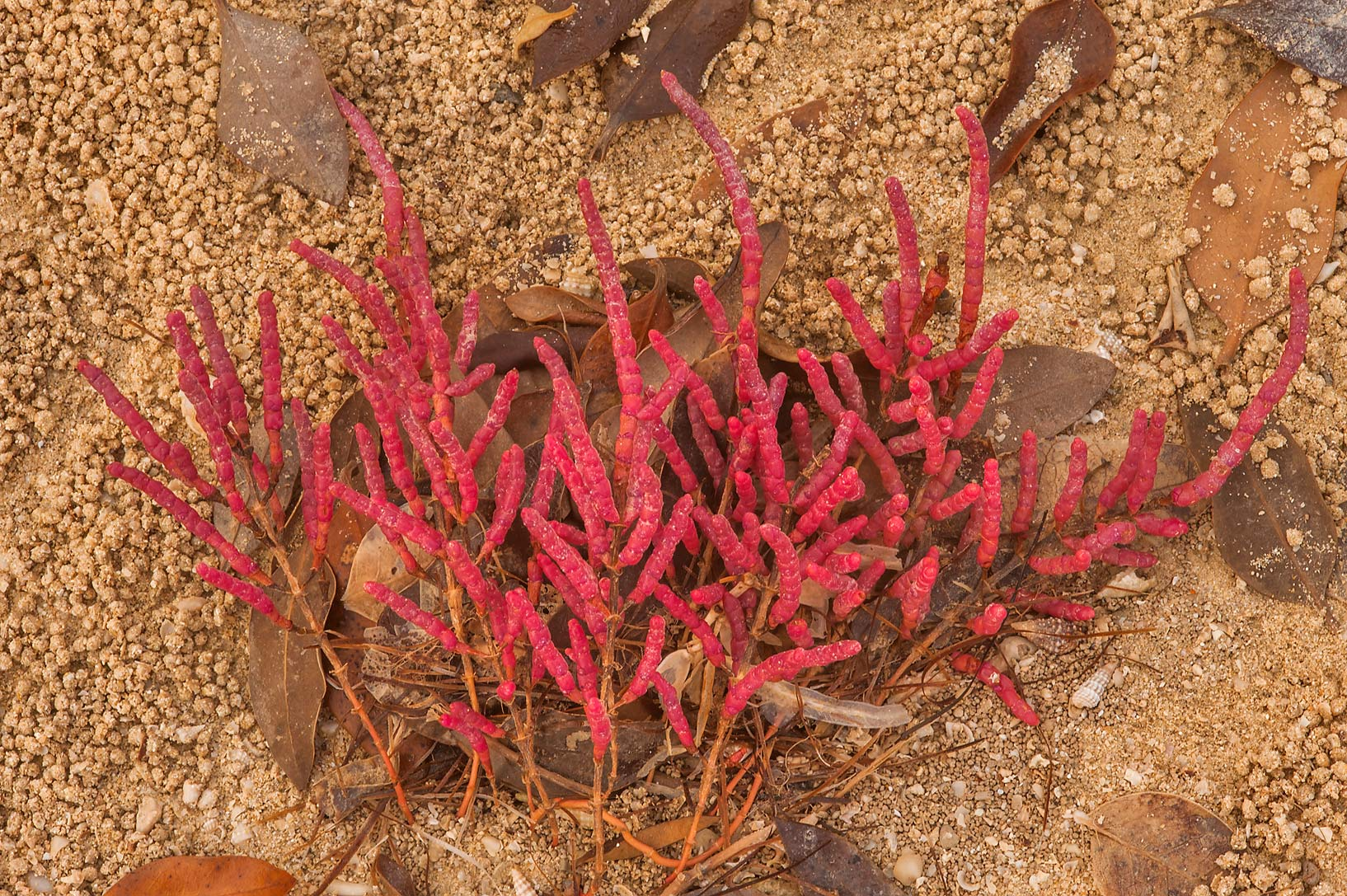 Red foliage of glasswort (Salicornia europaea) on...Jazirat Bin Ghanim). Al Khor, Qatar