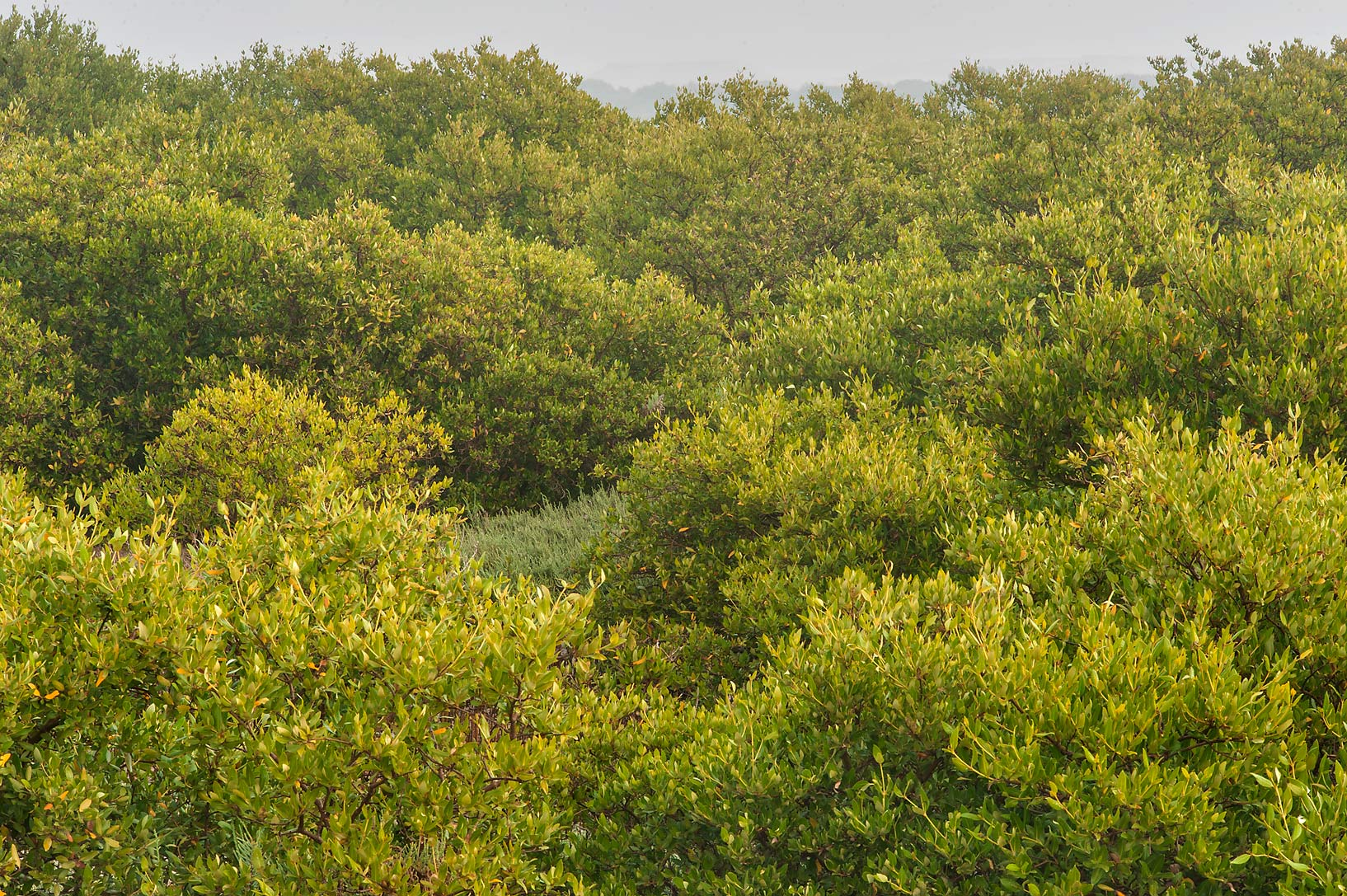 Mangrove forest (Avicennia marina) on north side...Jazirat Bin Ghanim). Al Khor, Qatar