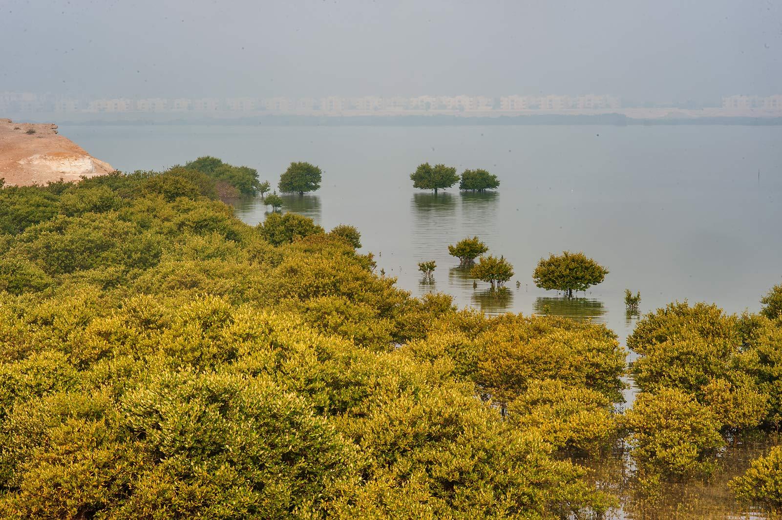 photo 917 13 mangrove forest avicennia marina near purple island jazirat bin ghanim al. Black Bedroom Furniture Sets. Home Design Ideas