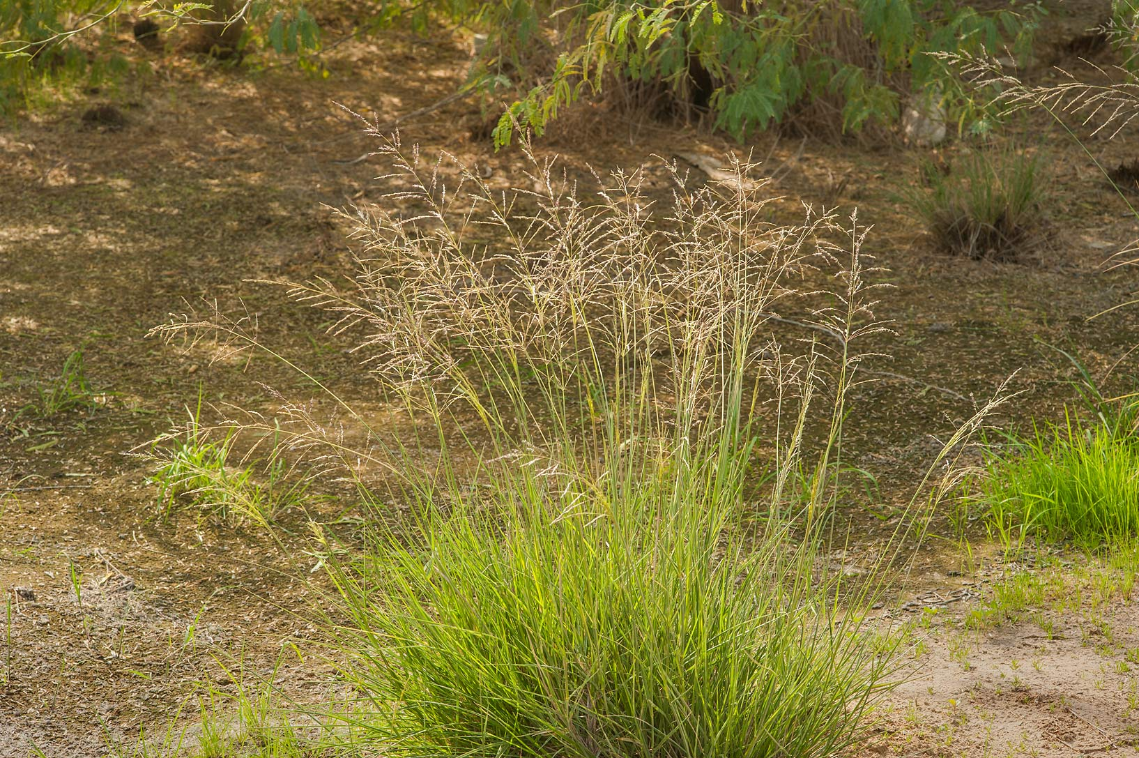 Tussock of grass pan dropseed (Sporobolus...water treatment plant. Al Khor, Qatar