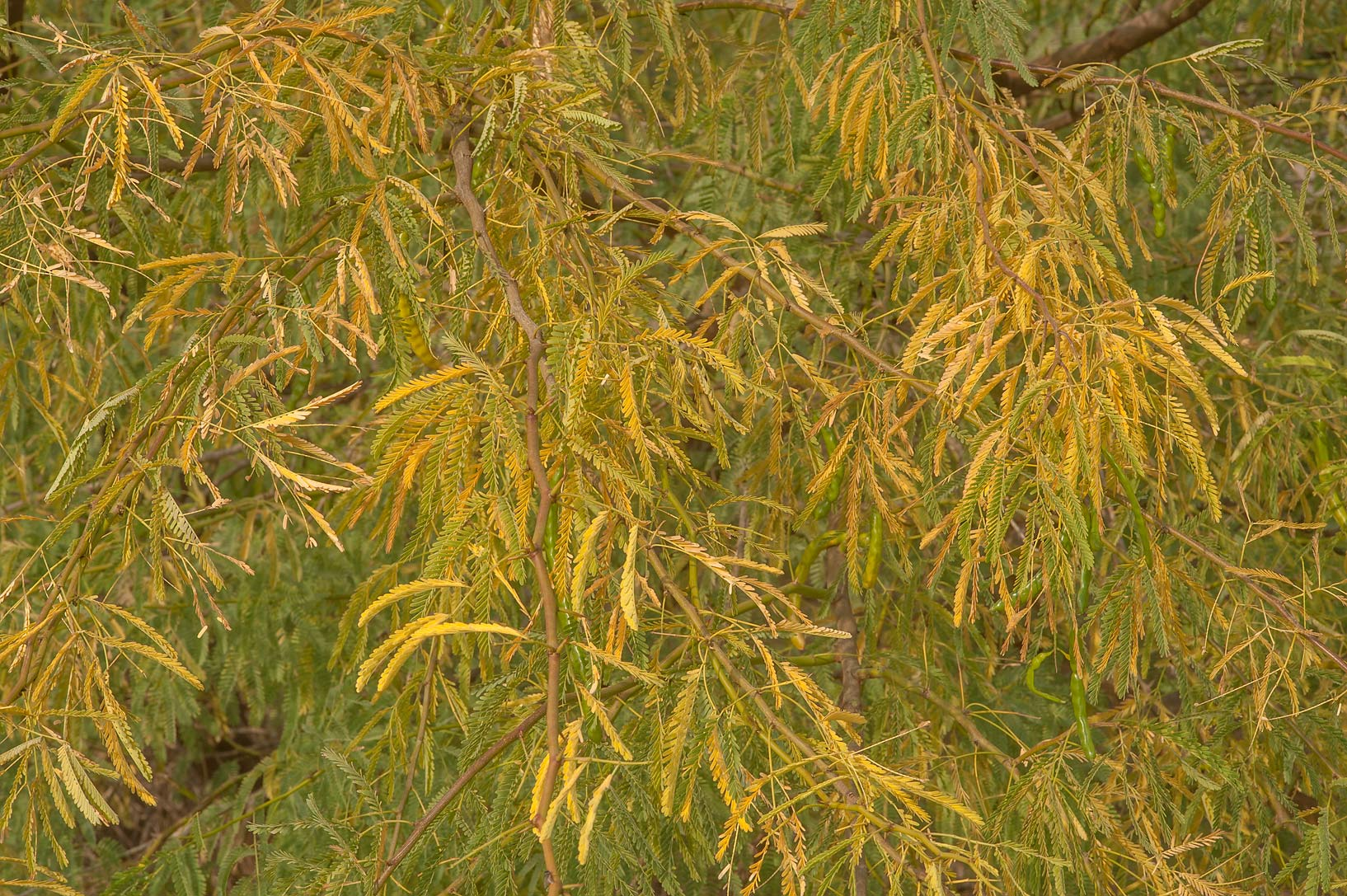 Yellow fall foliage of mesquite (Prosopis...water treatment plant. Al Khor, Qatar