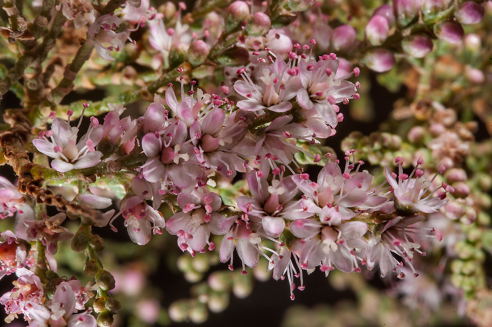 Pink flowers of tamarisk (Tamarix aucheriana...water treatment plant. Al Khor, Qatar