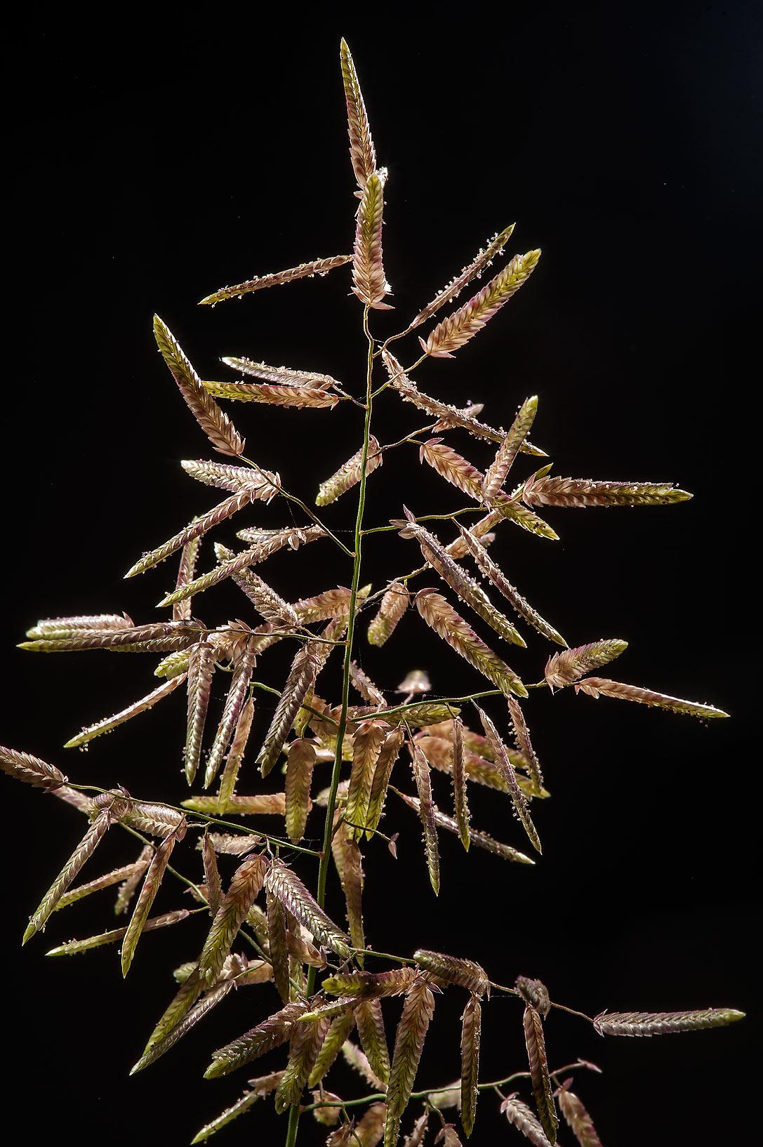 photo 164217 annual lovegrass eragrostis barrelieri