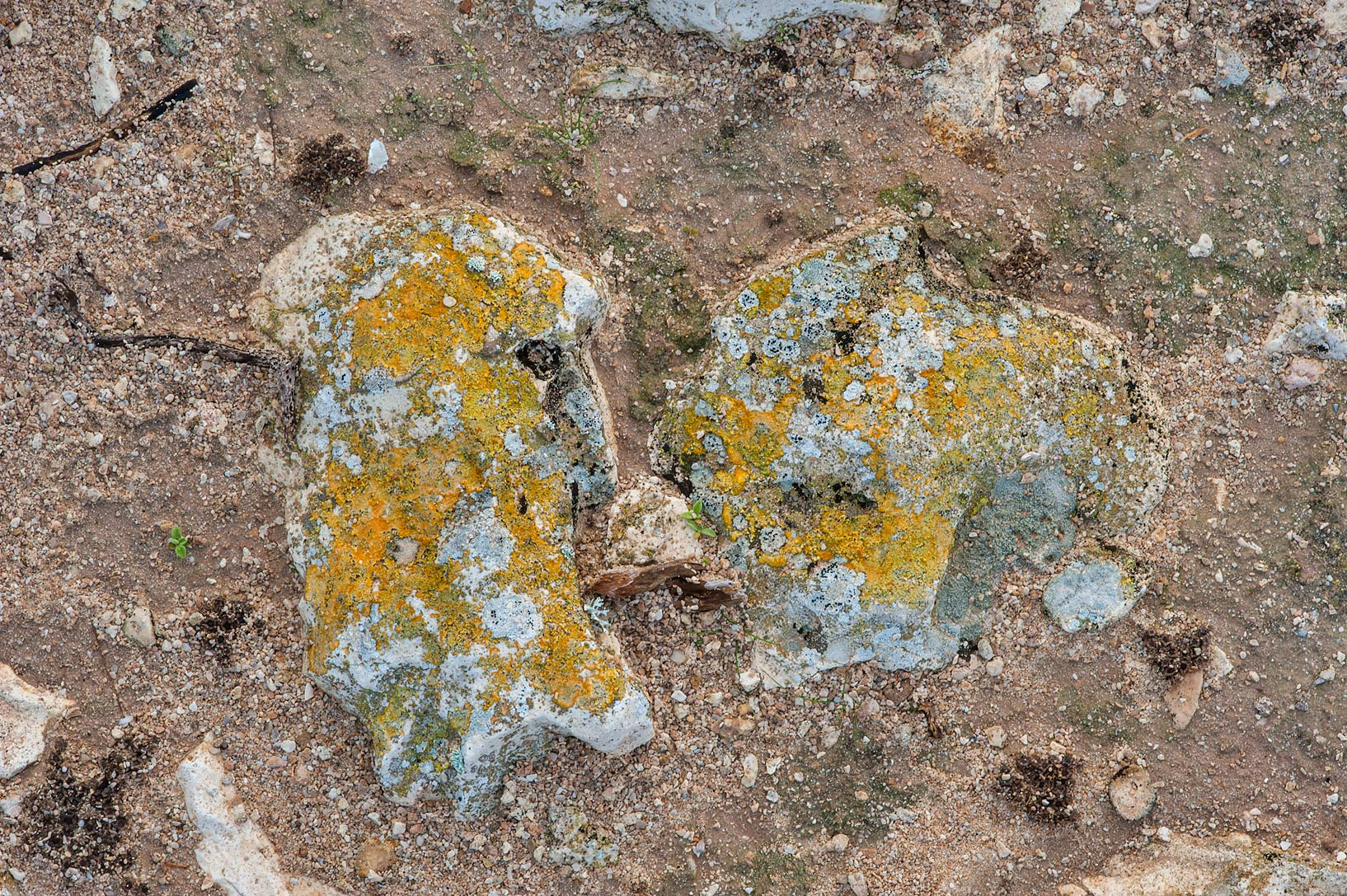 Golden lichen on stones near Jabal Al Jassasiya, on north-eastern coast. Qatar
