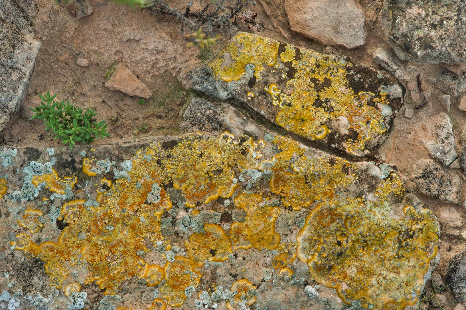Yellow lichen on stones on a rocky ridge in Jabal...site, on north-eastern coast. Qatar