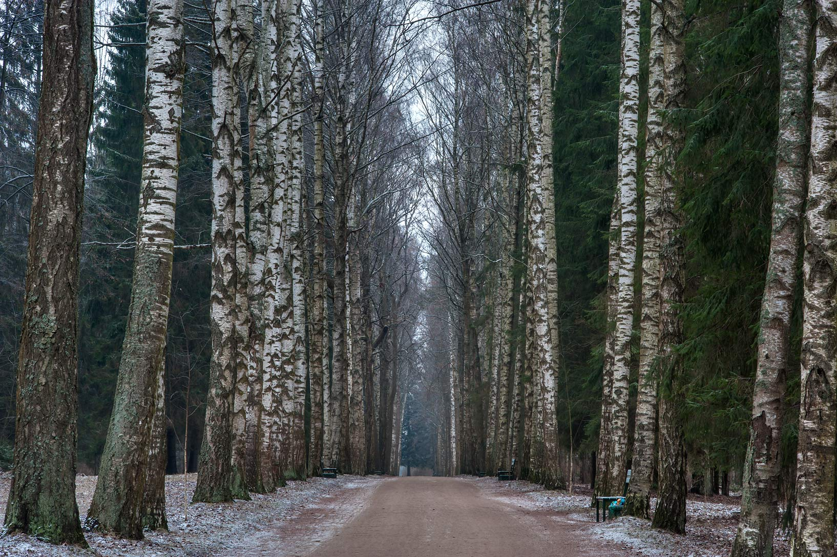 Birch trees on Mariyinskaya Alley in Pavlovsk...suburb of St.Petersburg, Russia