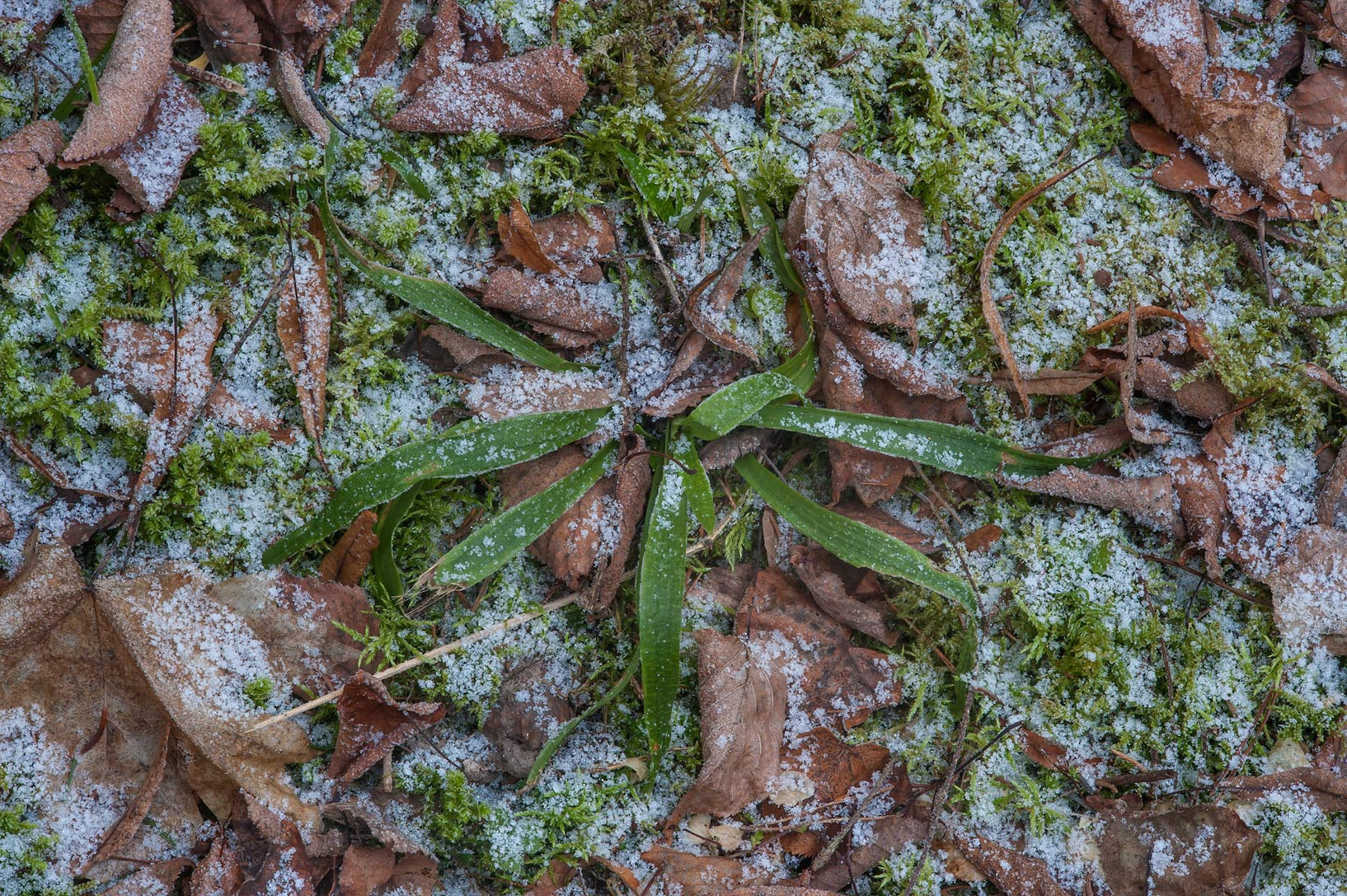 Moss and wood-rush (Luzula pilosa) under snow in...suburb of St.Petersburg, Russia