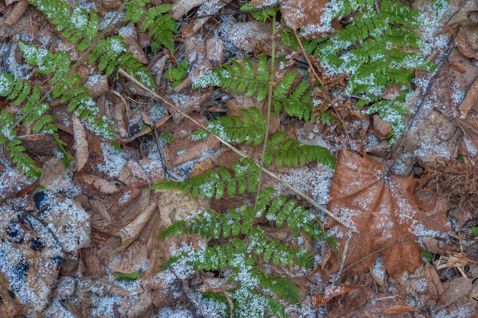 Green fern under snow in Old Sylvia in Pavlovsk...suburb of St.Petersburg, Russia