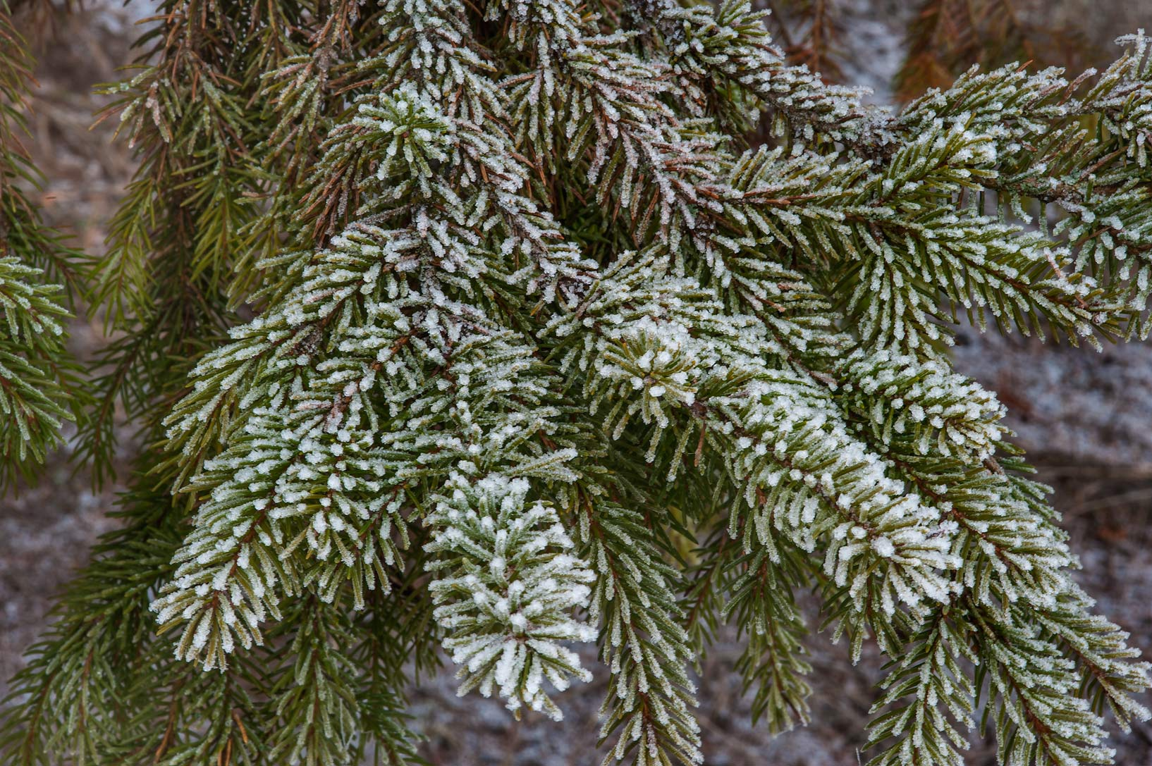 Spruce needles in snow in Old Sylvia in Pavlovsk...suburb of St.Petersburg, Russia