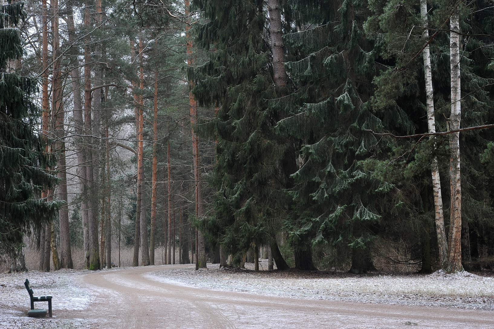 Spruce trees on Krasnodolinnaya Alley in Pavlovsk...suburb of St.Petersburg, Russia