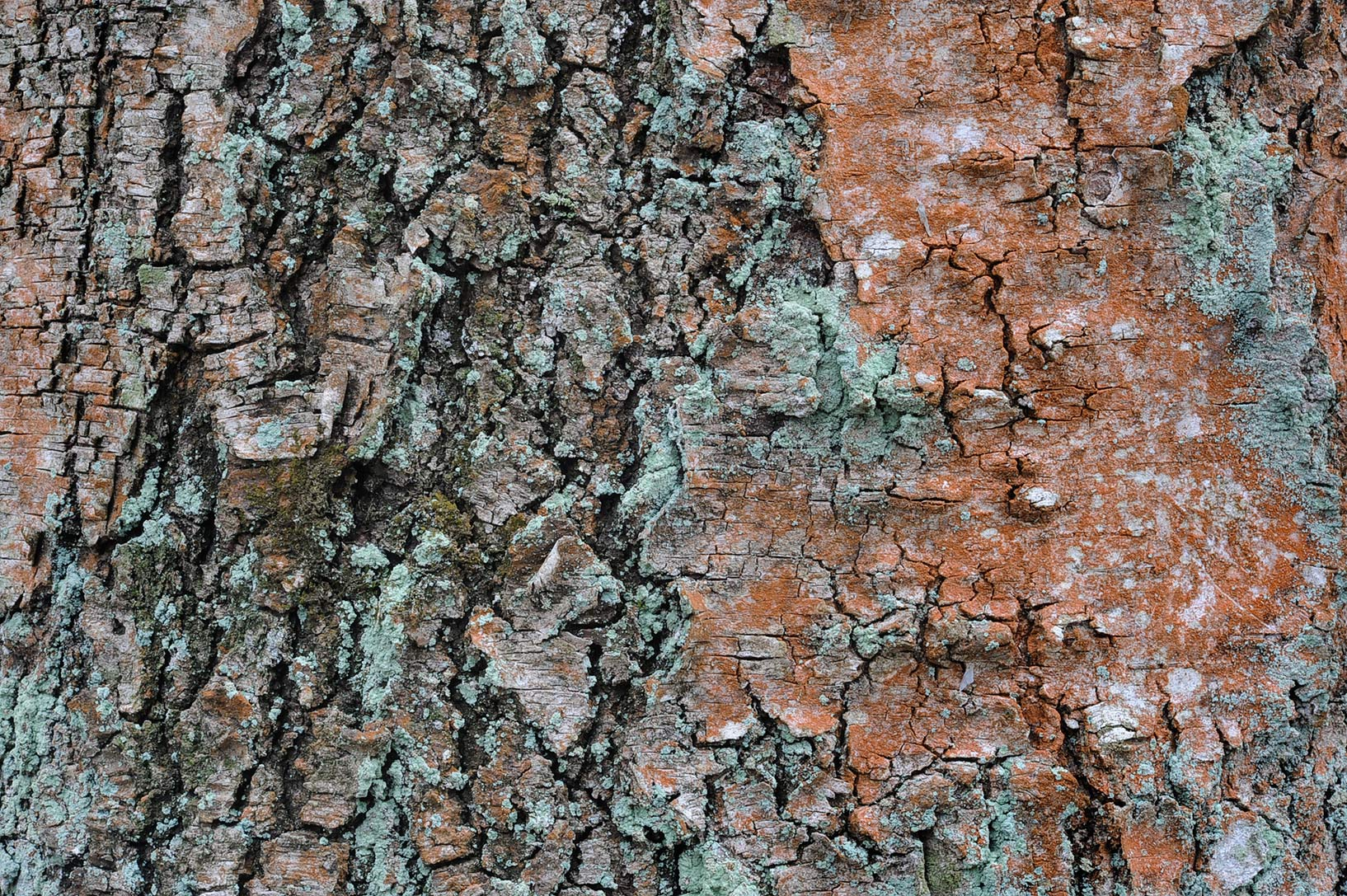 Birch bark with orange carotenoid pigments of...suburb of St.Petersburg, Russia