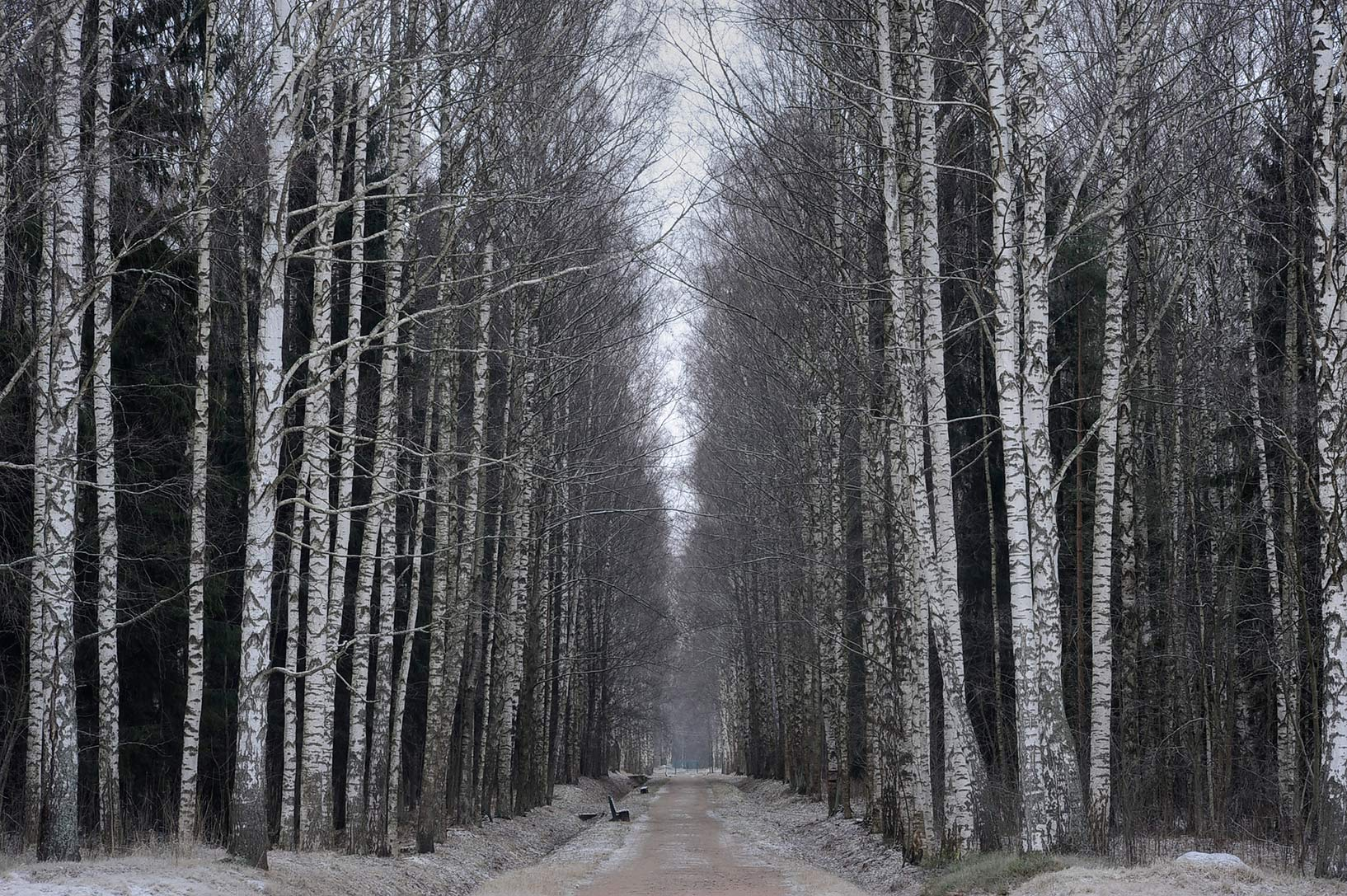 Birch trees along Krasnogo Bugra Alley in...suburb of St.Petersburg, Russia