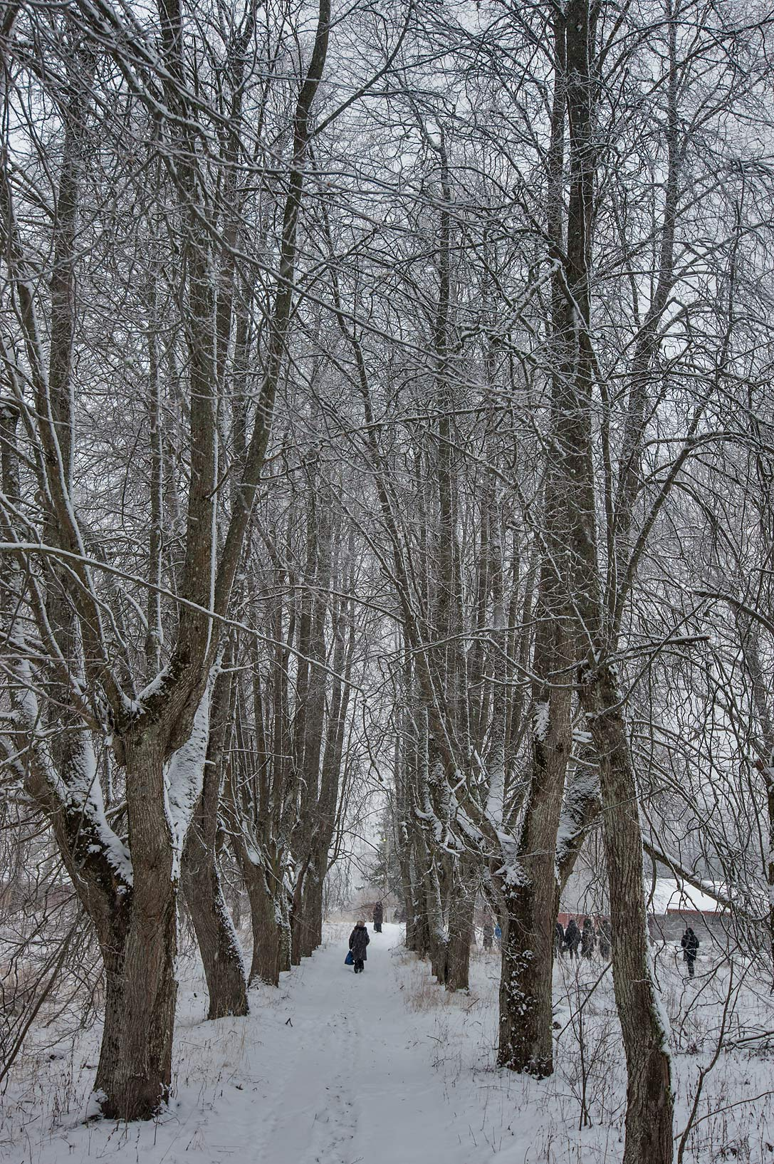 Linden alley in Voronino Estate. Lomonosov Region of Leningrad District, Russia