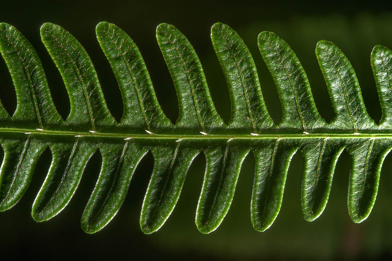 Round leaf of fern in greenhouses of Botanic...Institute. St.Petersburg, Russia
