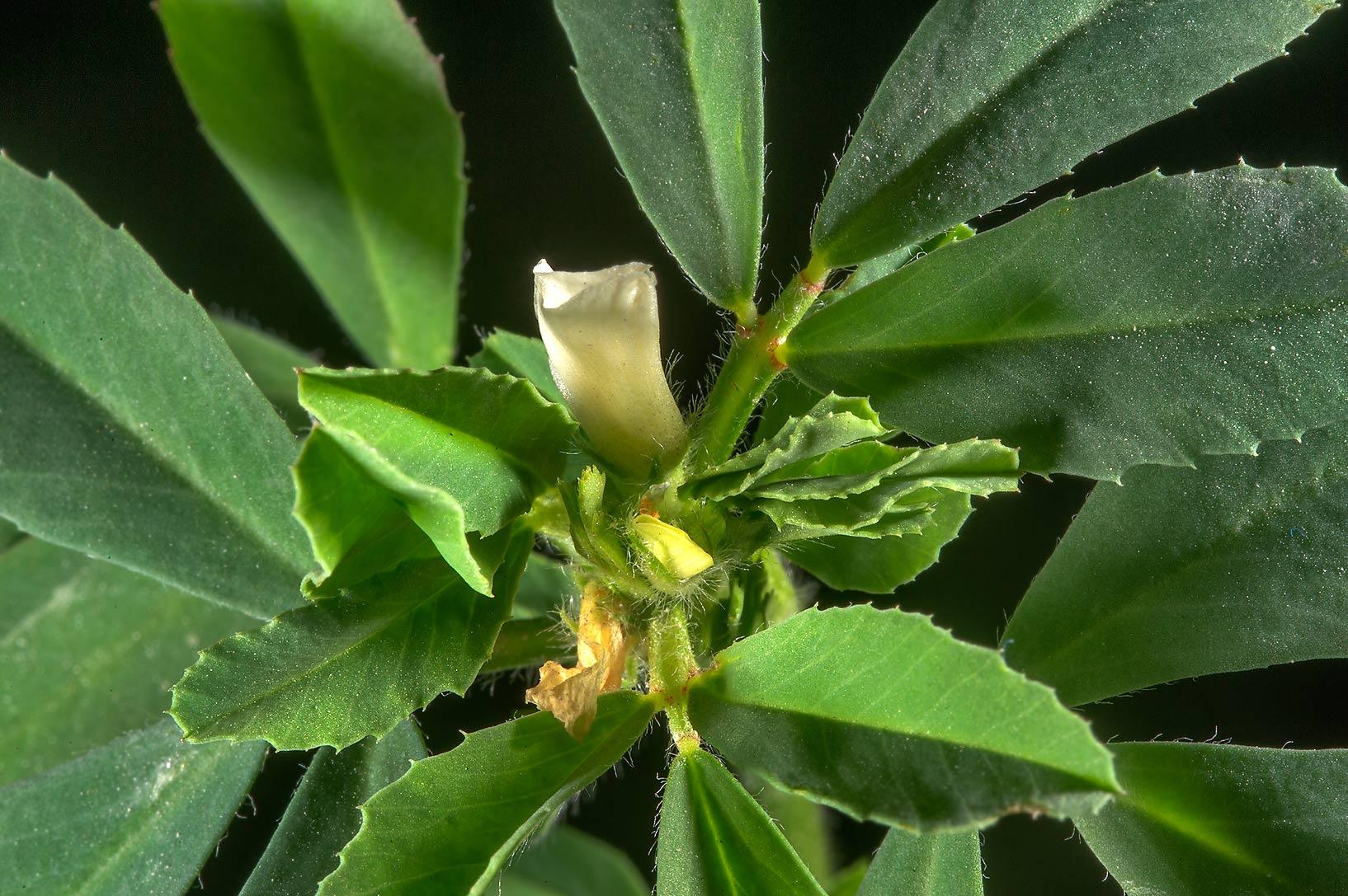 photo 172704 blooming fenugreek trigonella foenum