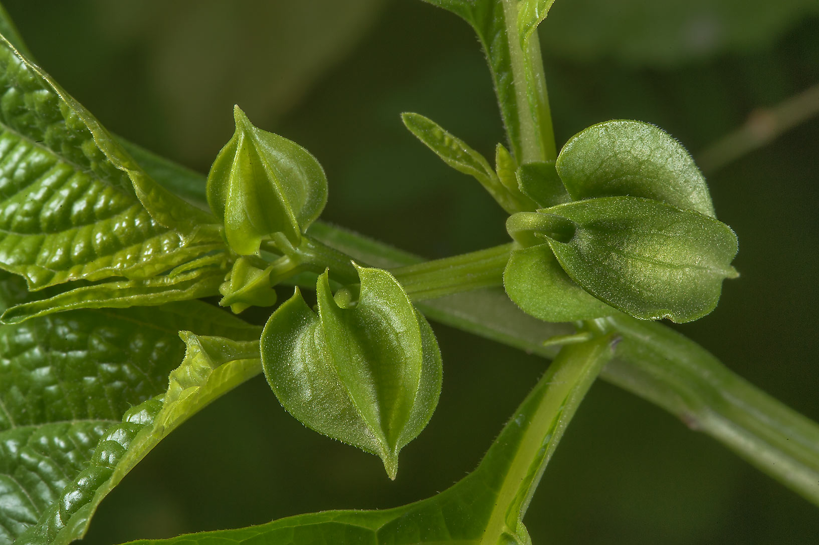 Flower buds of shoo-fly plant (Nicandra...St. in Al Luqta area. Doha, Qatar