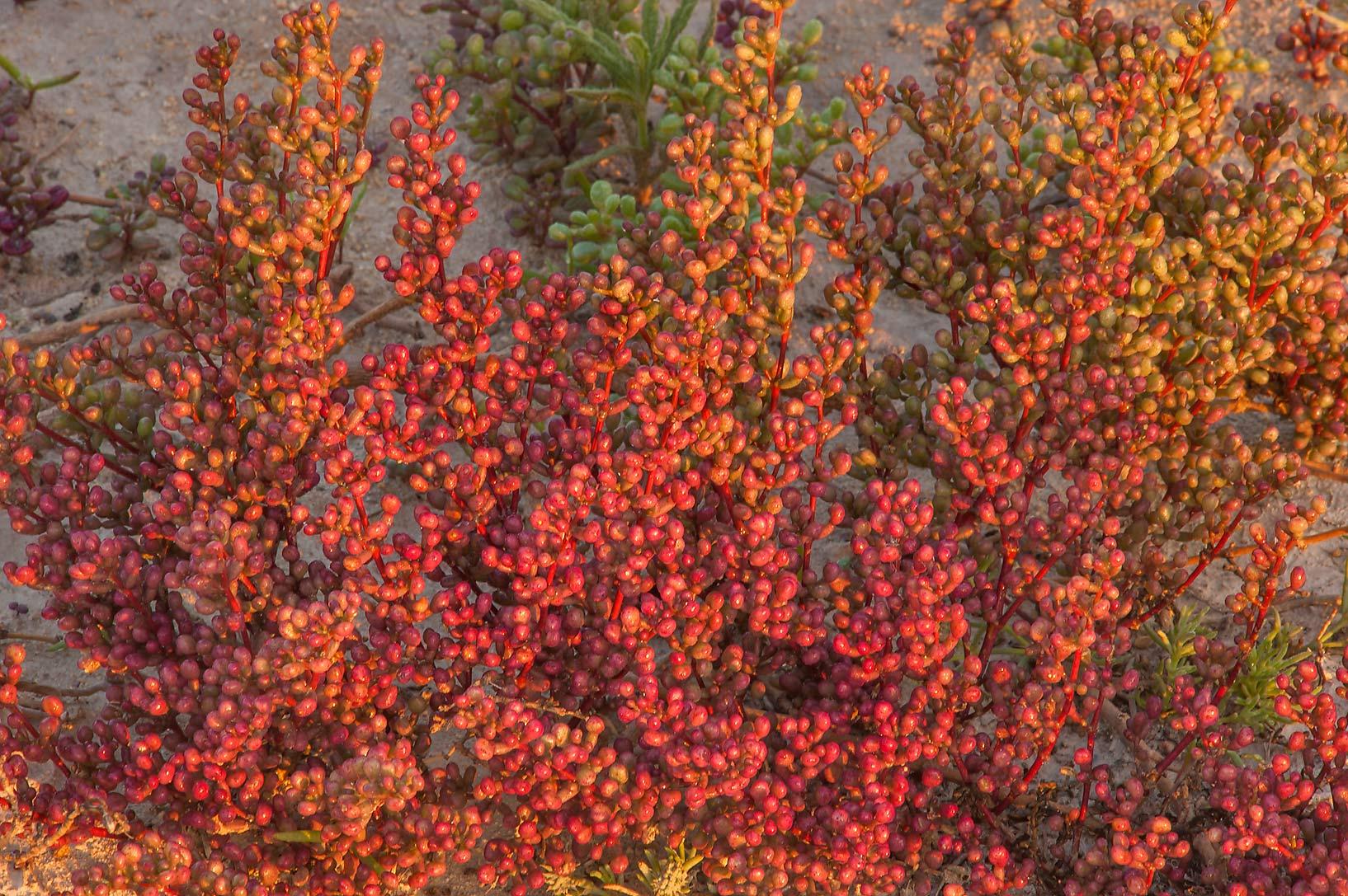 photo 172809 reddish leaves of tetraena qatarense