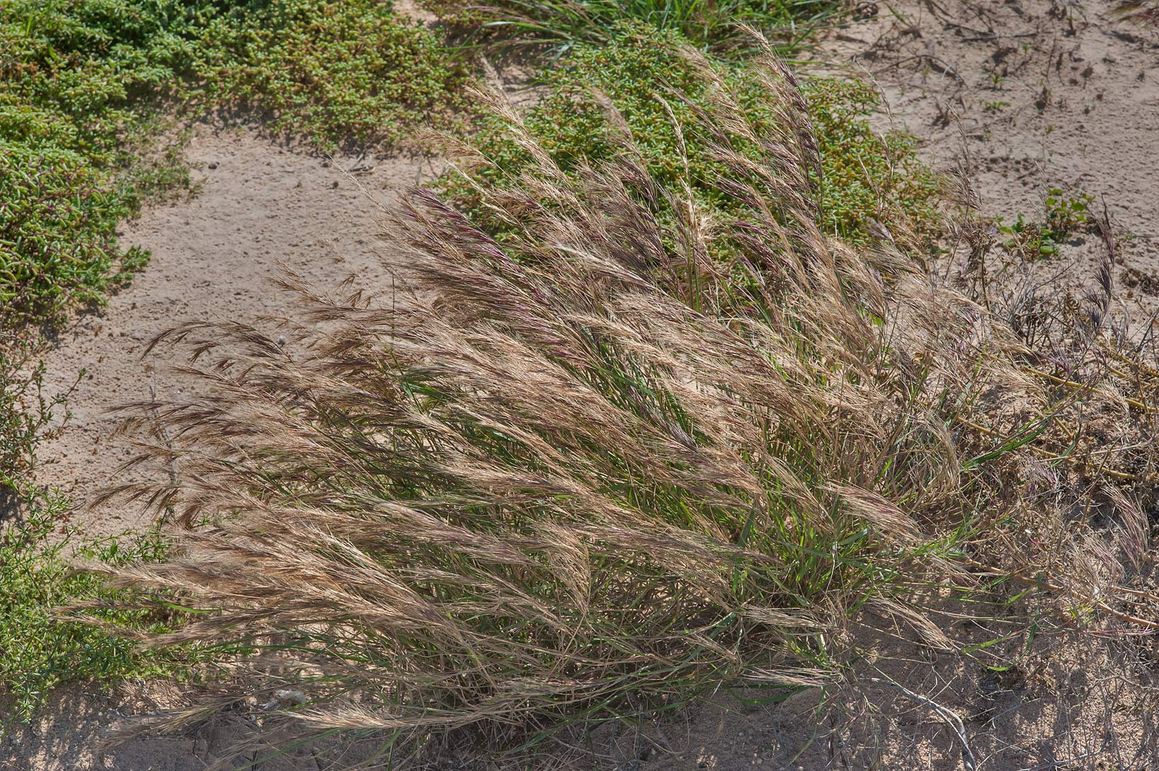 Grass of Chrysopogon plumulosus on windy day in...depression of Dukhan Highway. Qatar
