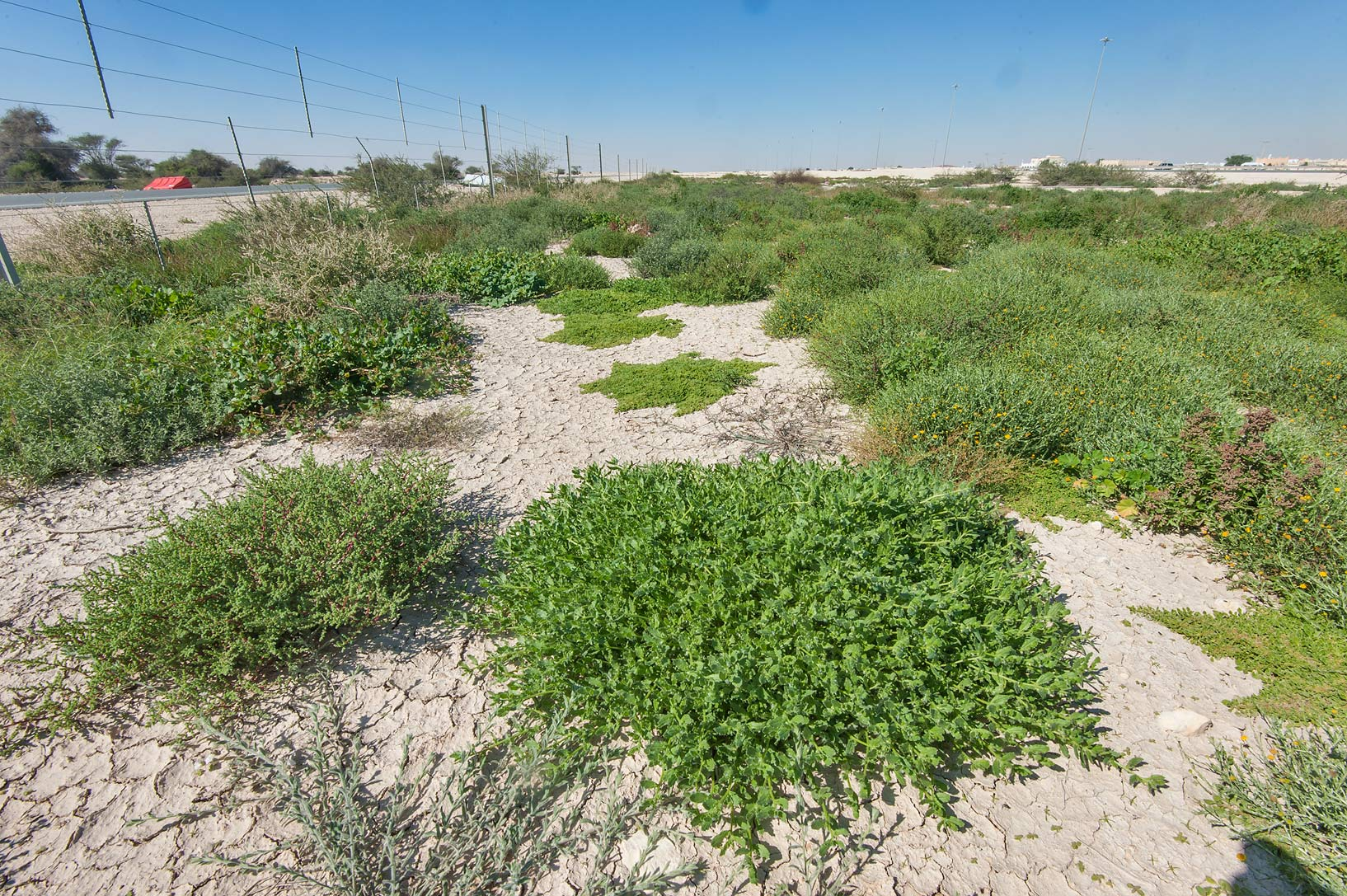 Green plants in roadside depression near Dukhan Highway near Ash-Shahaniyah. Qatar