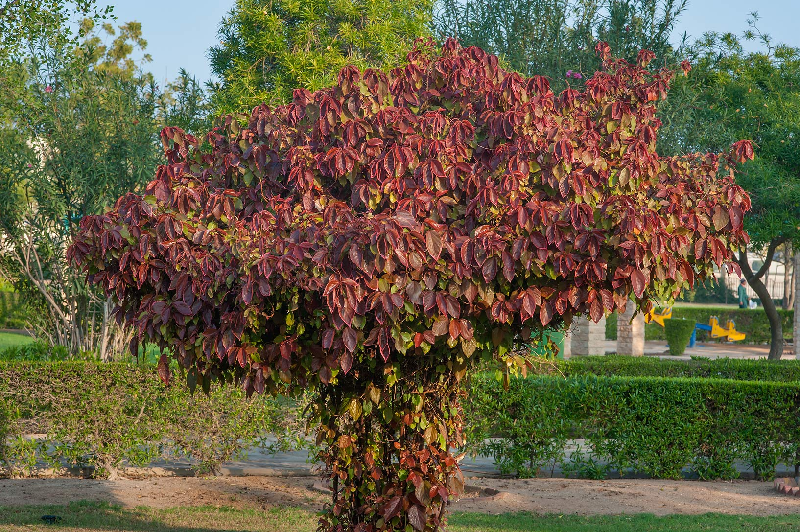 Acalypha wilkesiana shaped as a tree in Al Shamal City Park. Ruwais, Northern Qatar