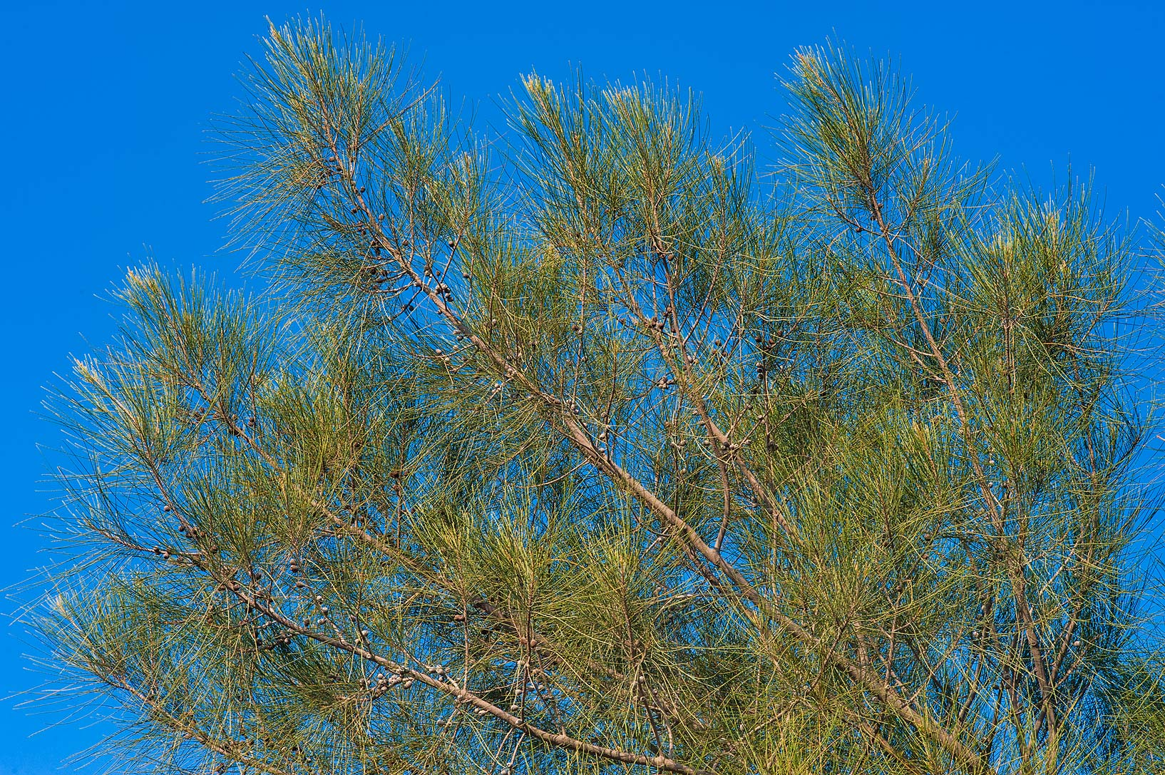 Needle-like foliage of Australian pine tree (she...City Park. Ruwais, Northern Qatar