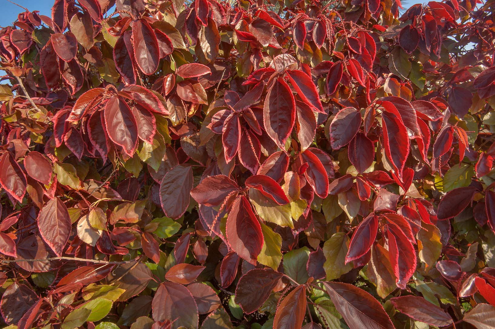 Burgundy leaves of Acalypha wilkesiana shaped as...City Park. Ruwais, Northern Qatar