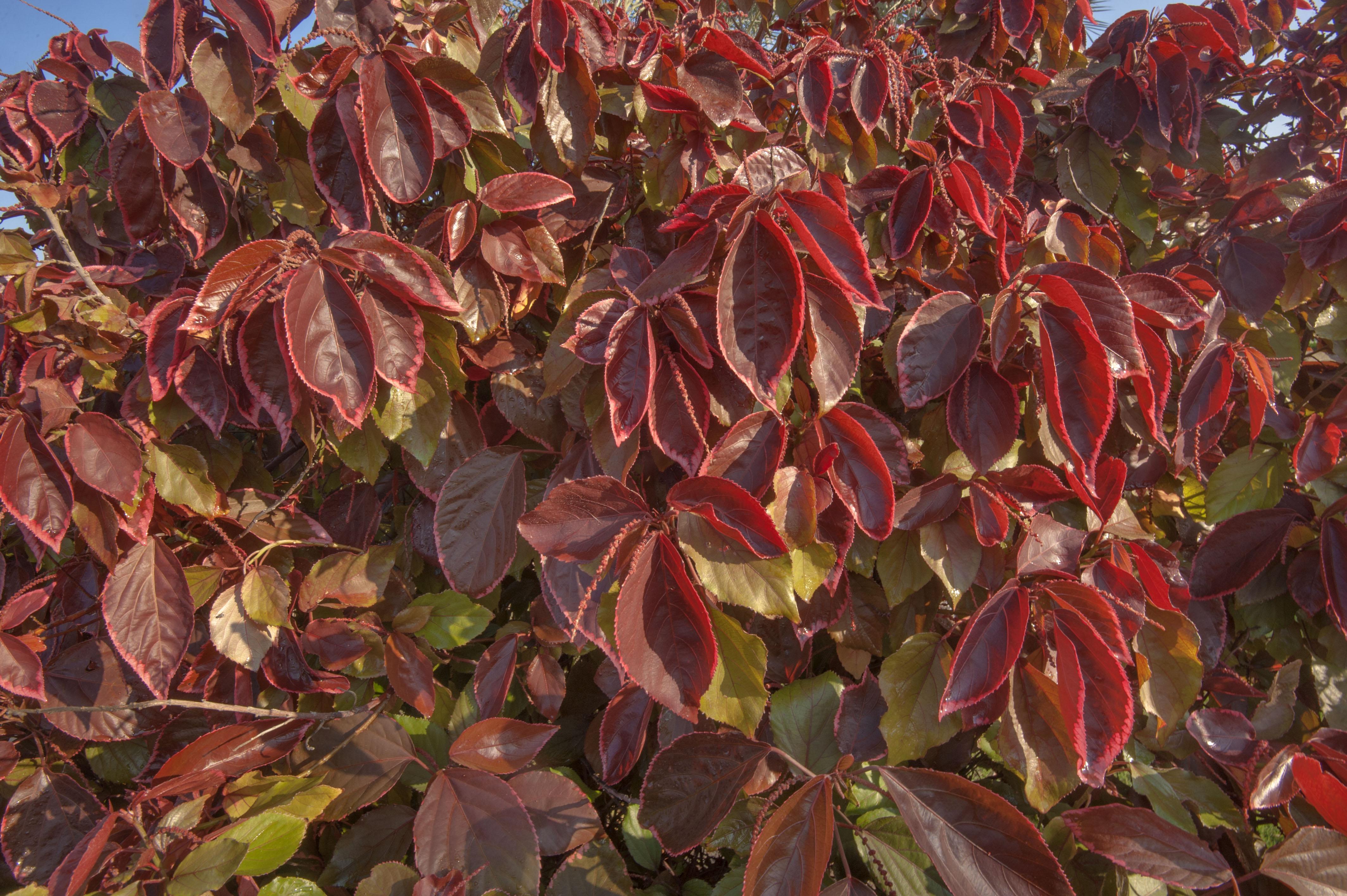 Photo 1730 19 Burgundy Leaves Of Acalypha Wilkesiana Shaped As