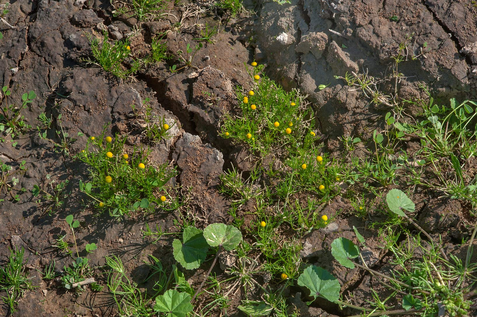 Blooming plants of golden chamomile (Matricaria...Al Nuaman (Numan). North-western Qatar