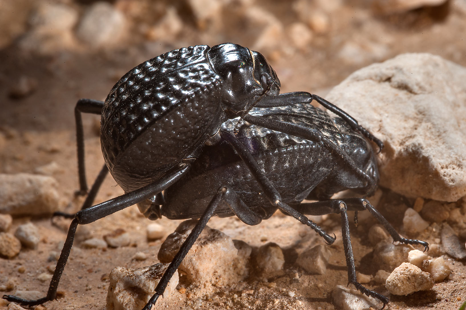 Mating pitted darkling beetles (Adesmia...of Al Magdah farms. Northern Qatar