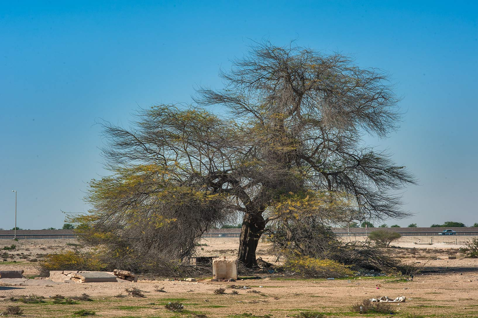 Big mesquite tree (Prosopis juliflora) in area of...Husayn Water Well near Simaisma. Qatar