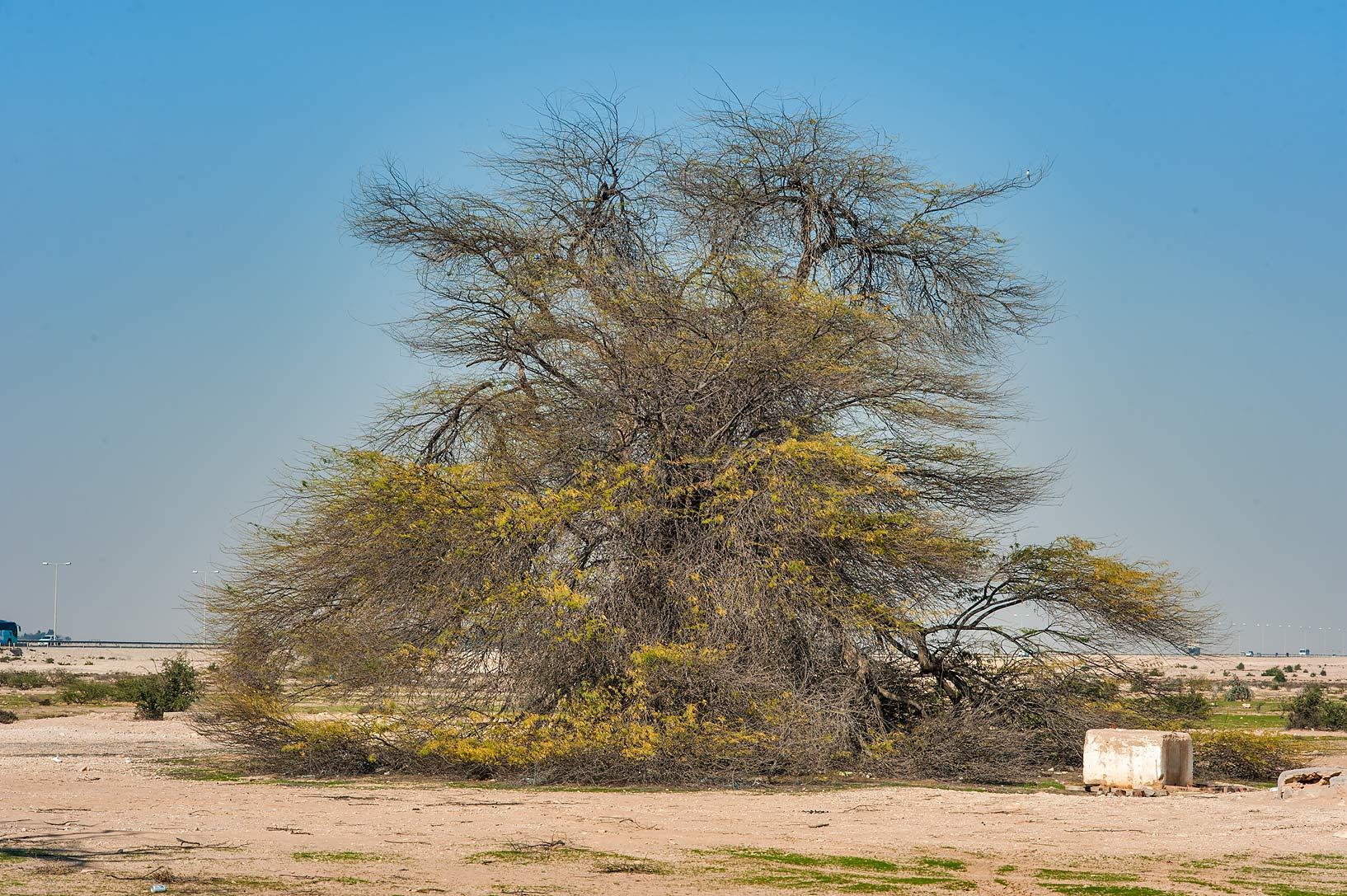 Old mesquite tree (Prosopis juliflora) near...Husayn Water Well near Simaisma. Qatar