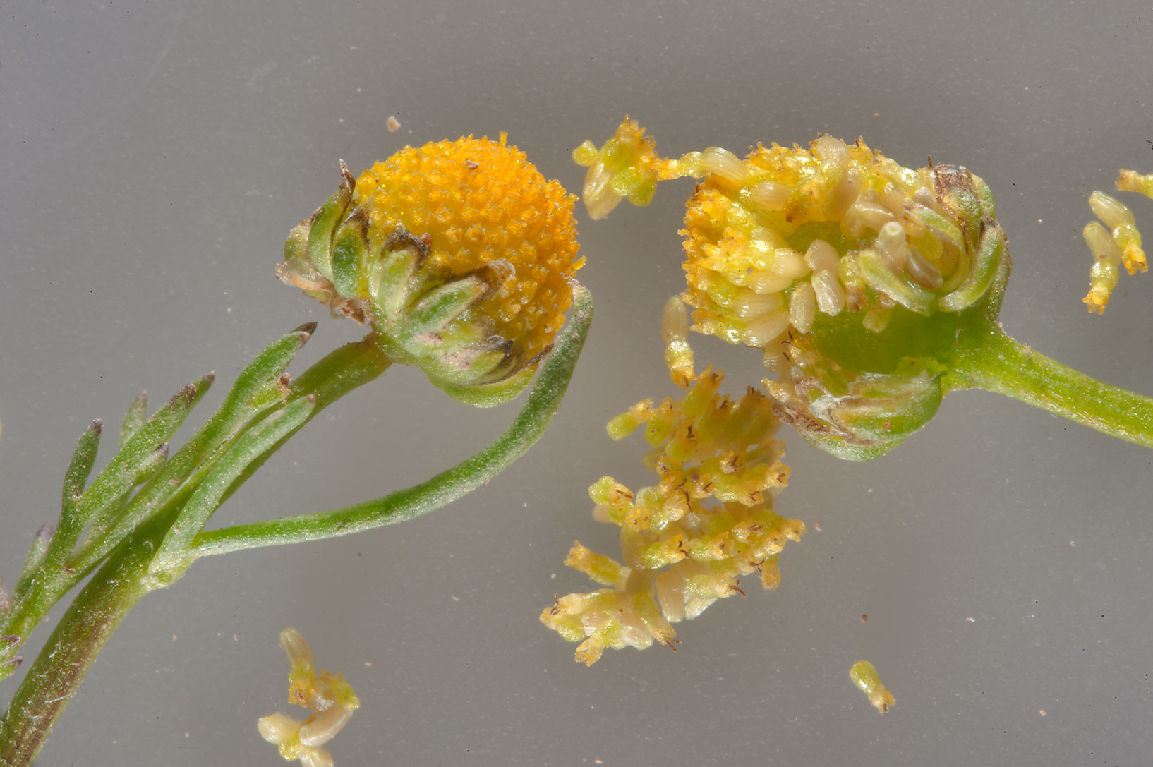 Close up of flowers of golden chamomile...Al Nuaman (Numan). North-western Qatar