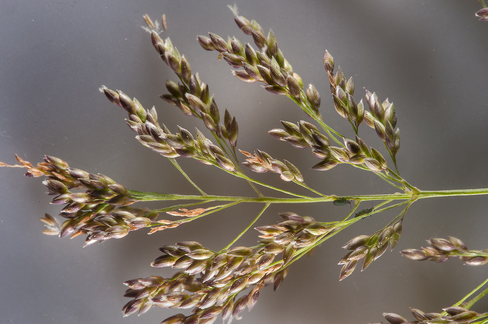 Close up of spike of blue panicgrass (Panicum...taken from Onaiza area. Doha, Qatar