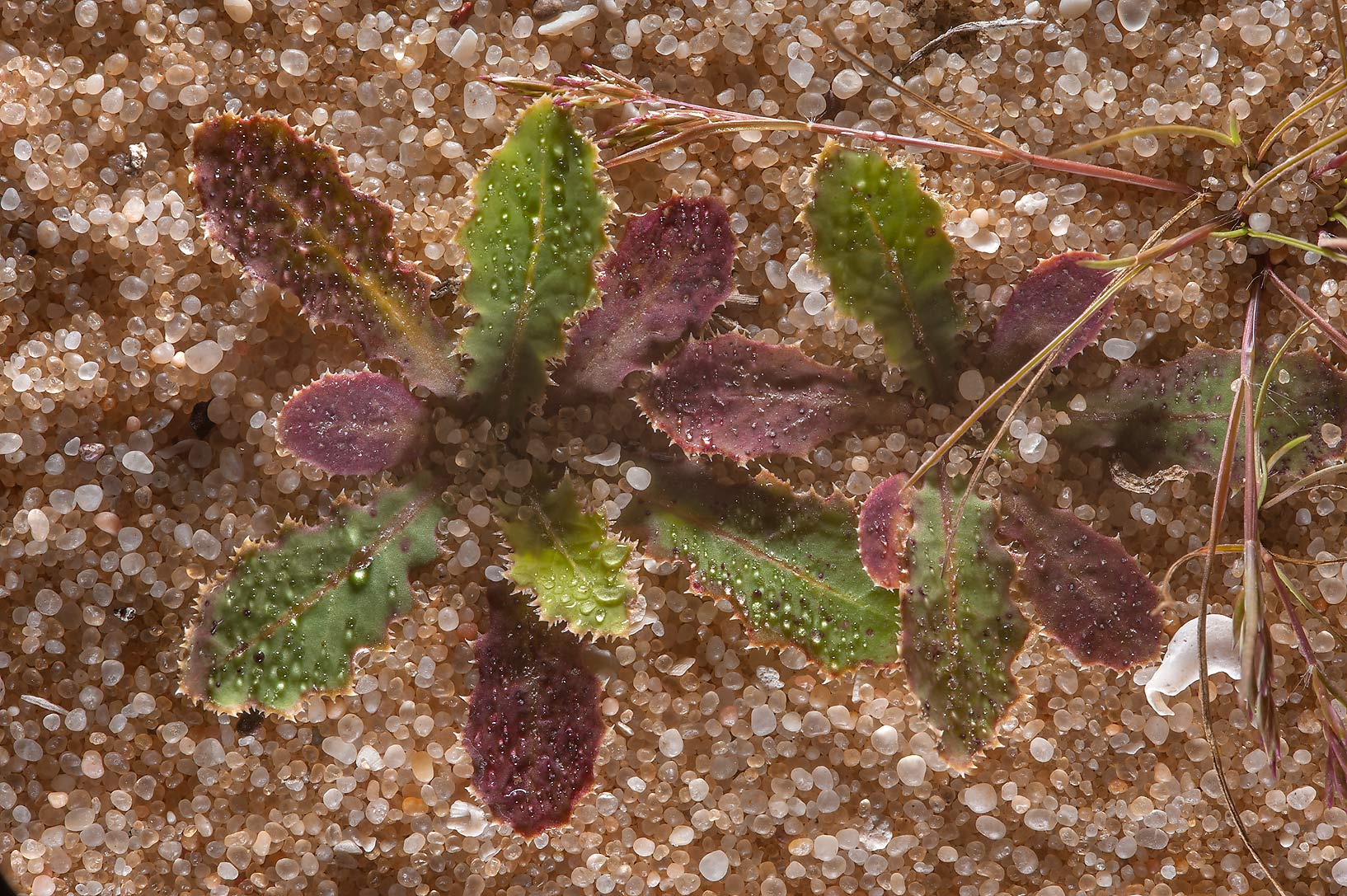 Rosettes of leaves of Launaea capitata on sand...Reserve near Abu Samra. Southern Qatar