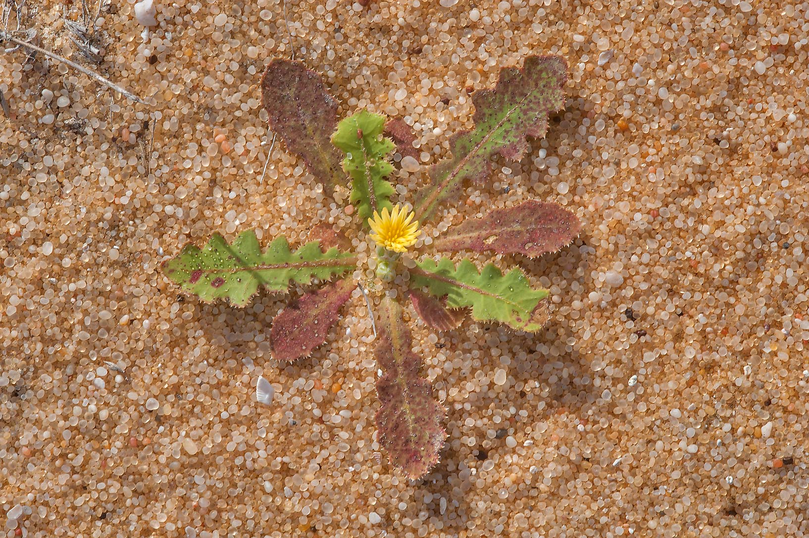 Rosette of leaves of Launaea capitata with a...Reserve near Abu Samra. Southern Qatar
