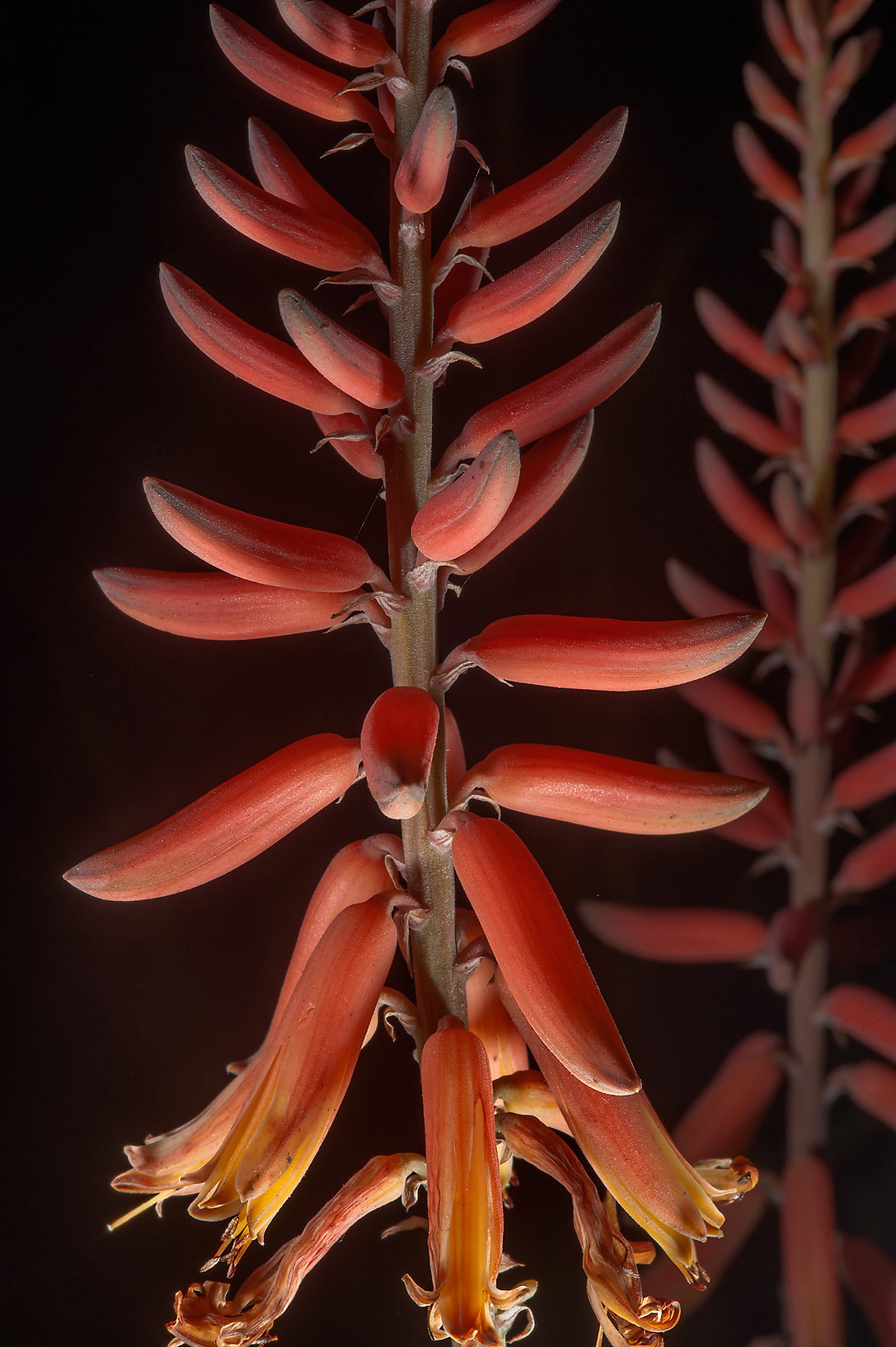 Orange flowers of aloe planted in gardens of Sheraton Hotel in West Bay. Doha, Qatar