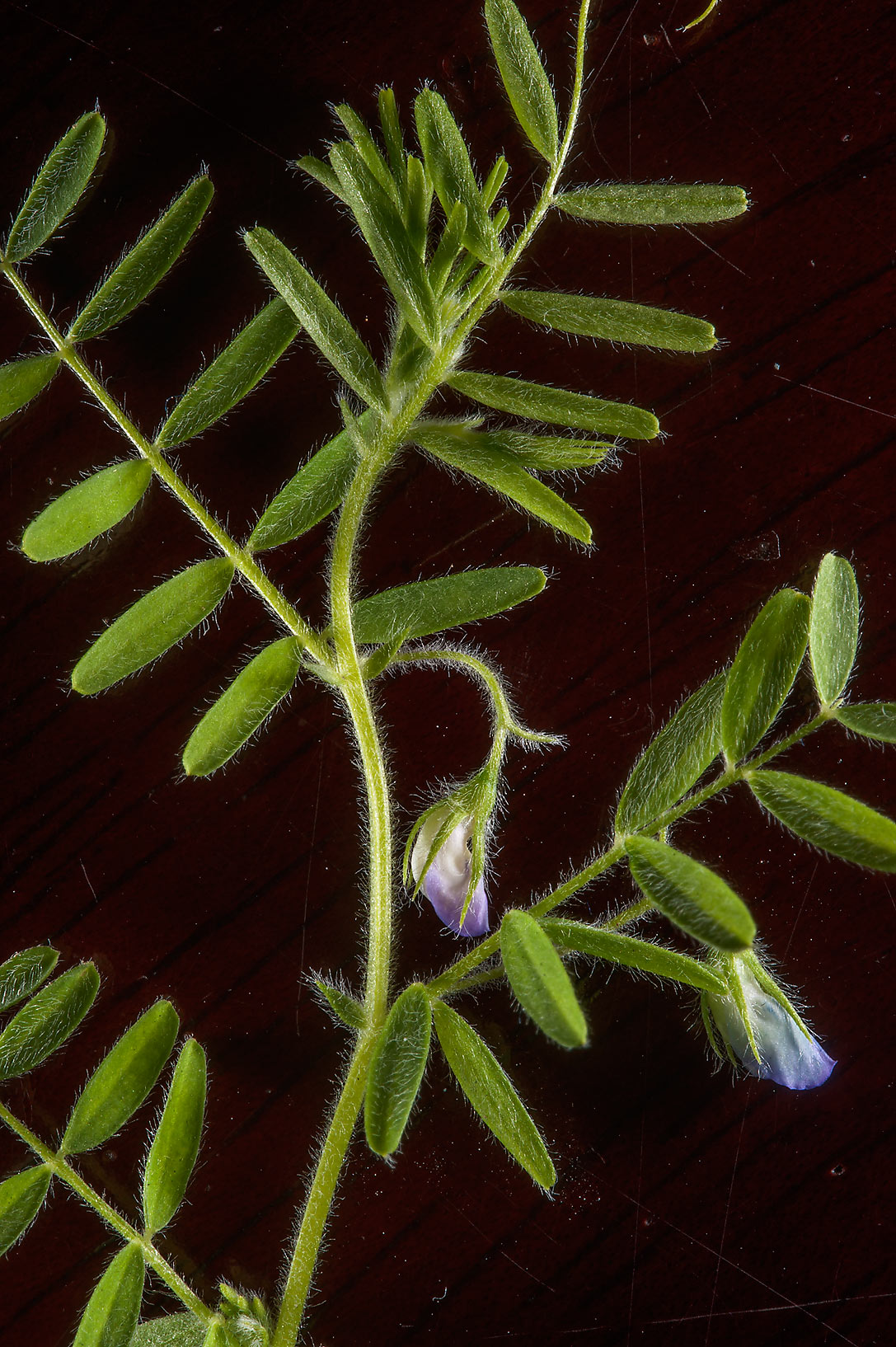 Hard vetch (Vicia monantha) with flowers on dark...Nusaih St. in Onaiza area. Doha, Qatar