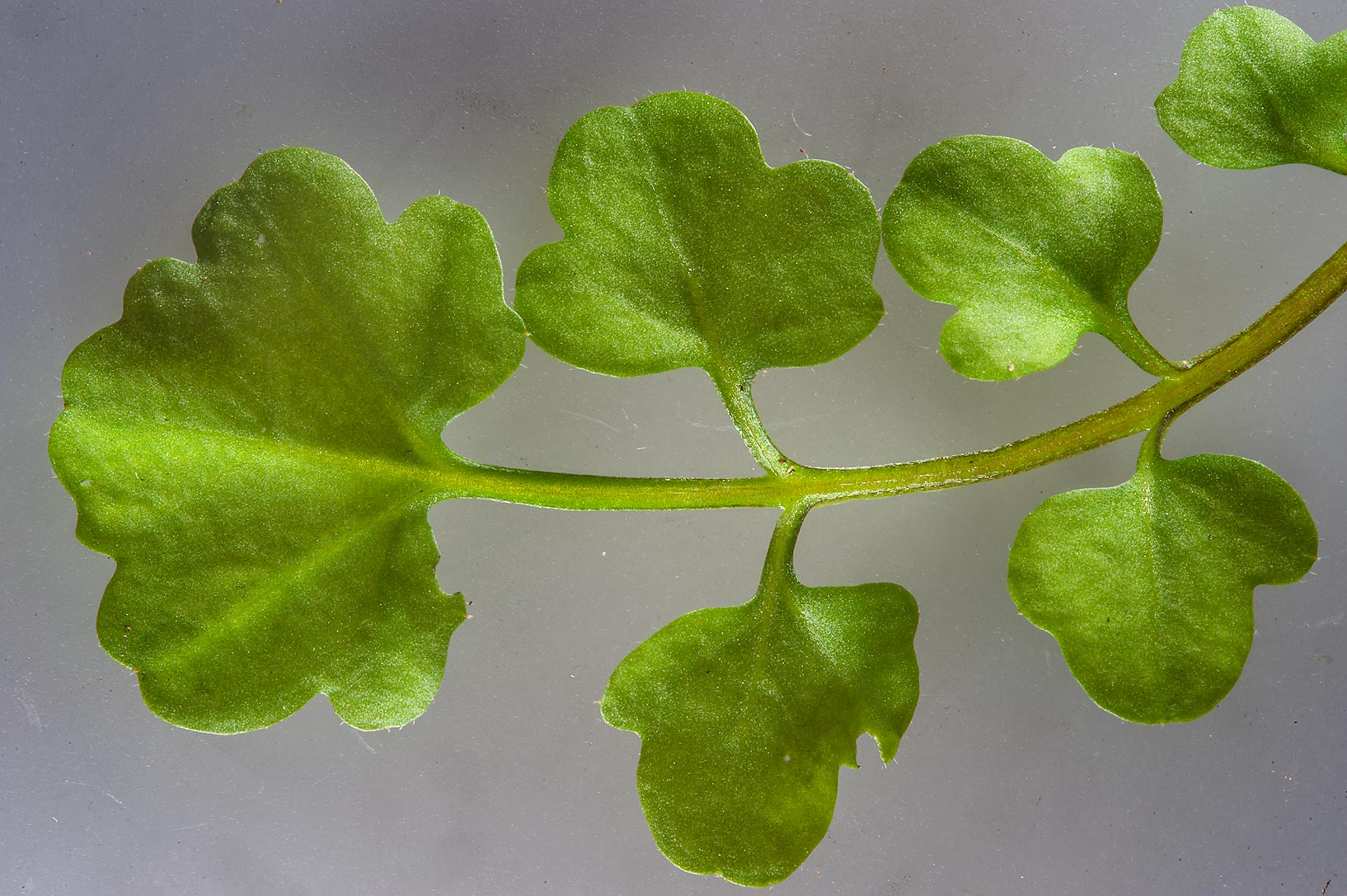 Leaf of Hairy bittercress (Cardamine hirsuta) on...Hotel in West Bay. Doha, Qatar