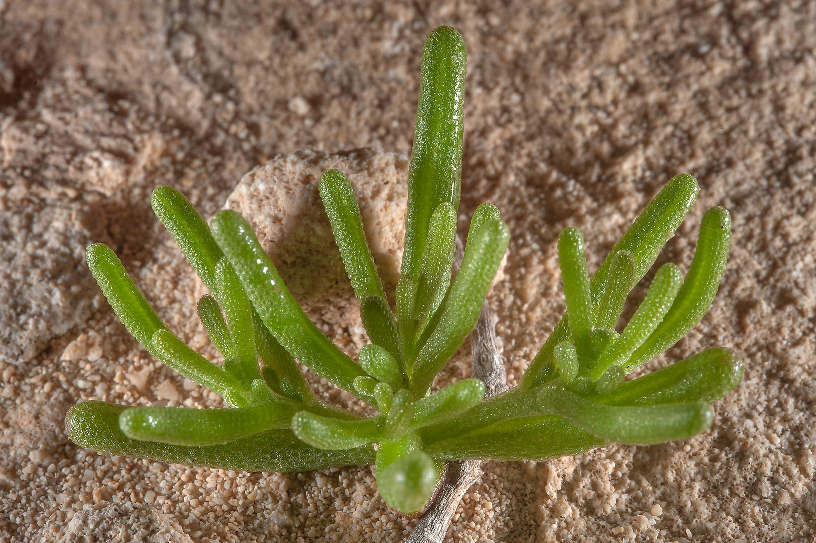 Seedling of Egyptian fig-marigold (slenderleaf...of Jebel Fuwairit. Northern Qatar