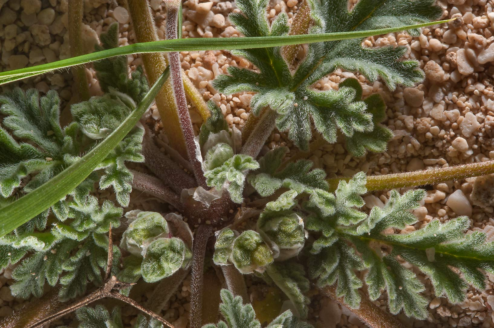 Leaves of Cutleaf Heron's bill (Erodium...on north-eastern coast. Qatar