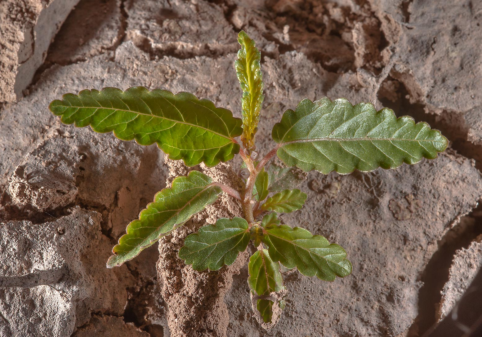 Seedling of wild jute (Corchorus trilocularis) in...Nuaman, Nuaimiya). Northern Qatar