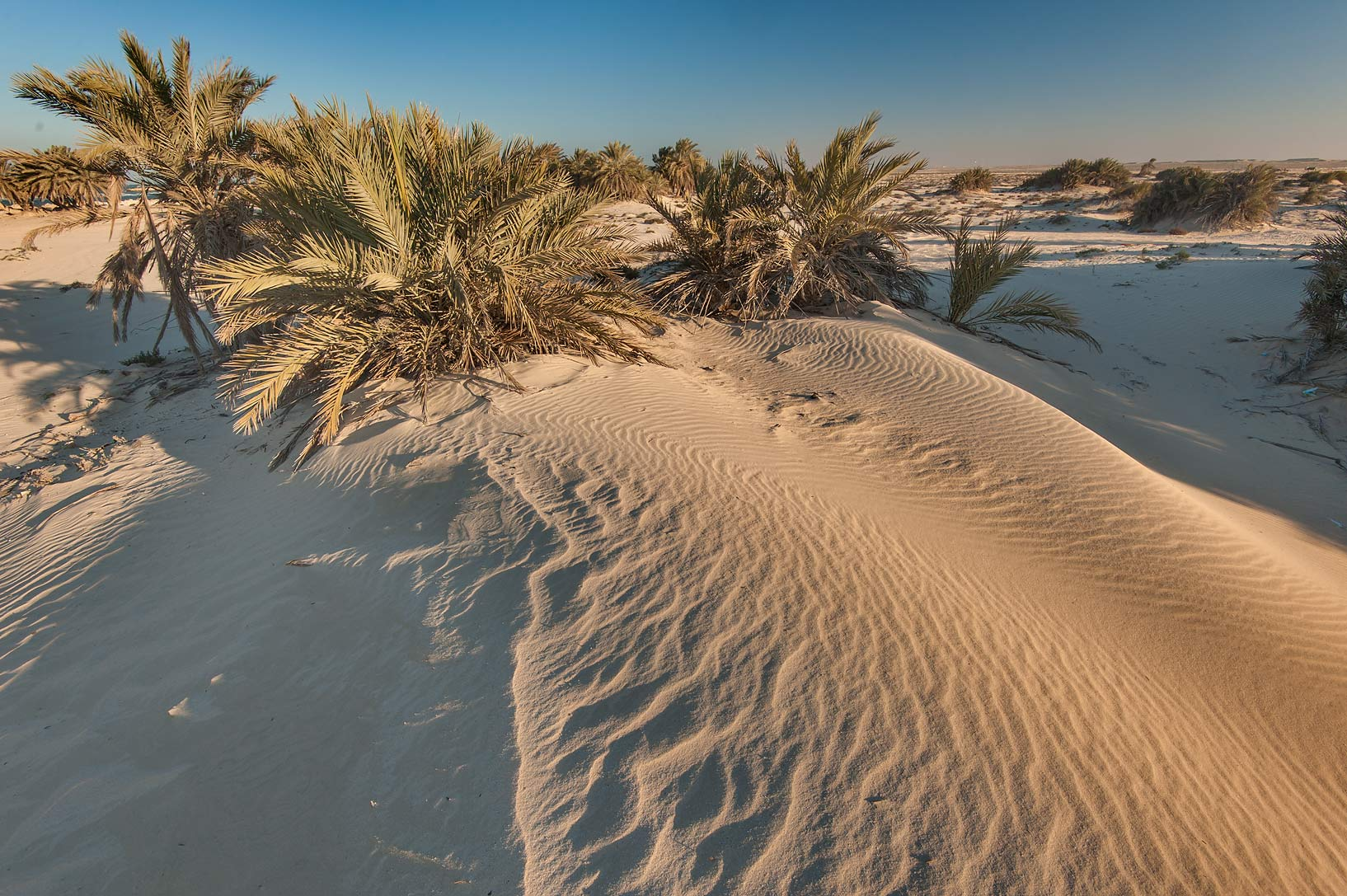 Date palms (Phoenix dactylifera) in windblown...Well near Umm Bab. South-western Qatar