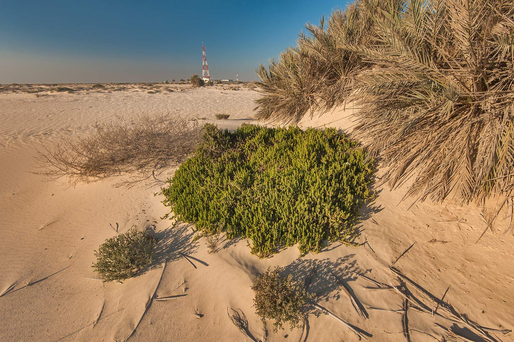 Plant of Suaeda aegyptiaca near a beach in the...Well near Umm Bab. South-western Qatar