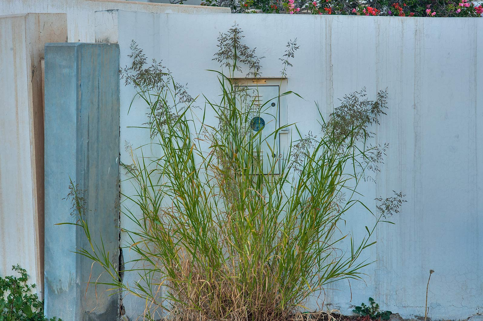 Blue panicgrass (Panicum antidotale) on United Nations St. in Onaiza area. Doha, Qatar
