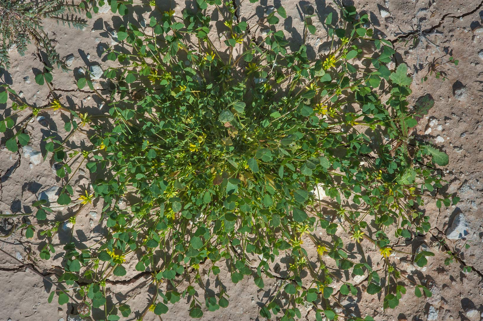 Star Fenugreek (Trigonella stellata, local name...near Route 77 to Ras Laffan. Qatar