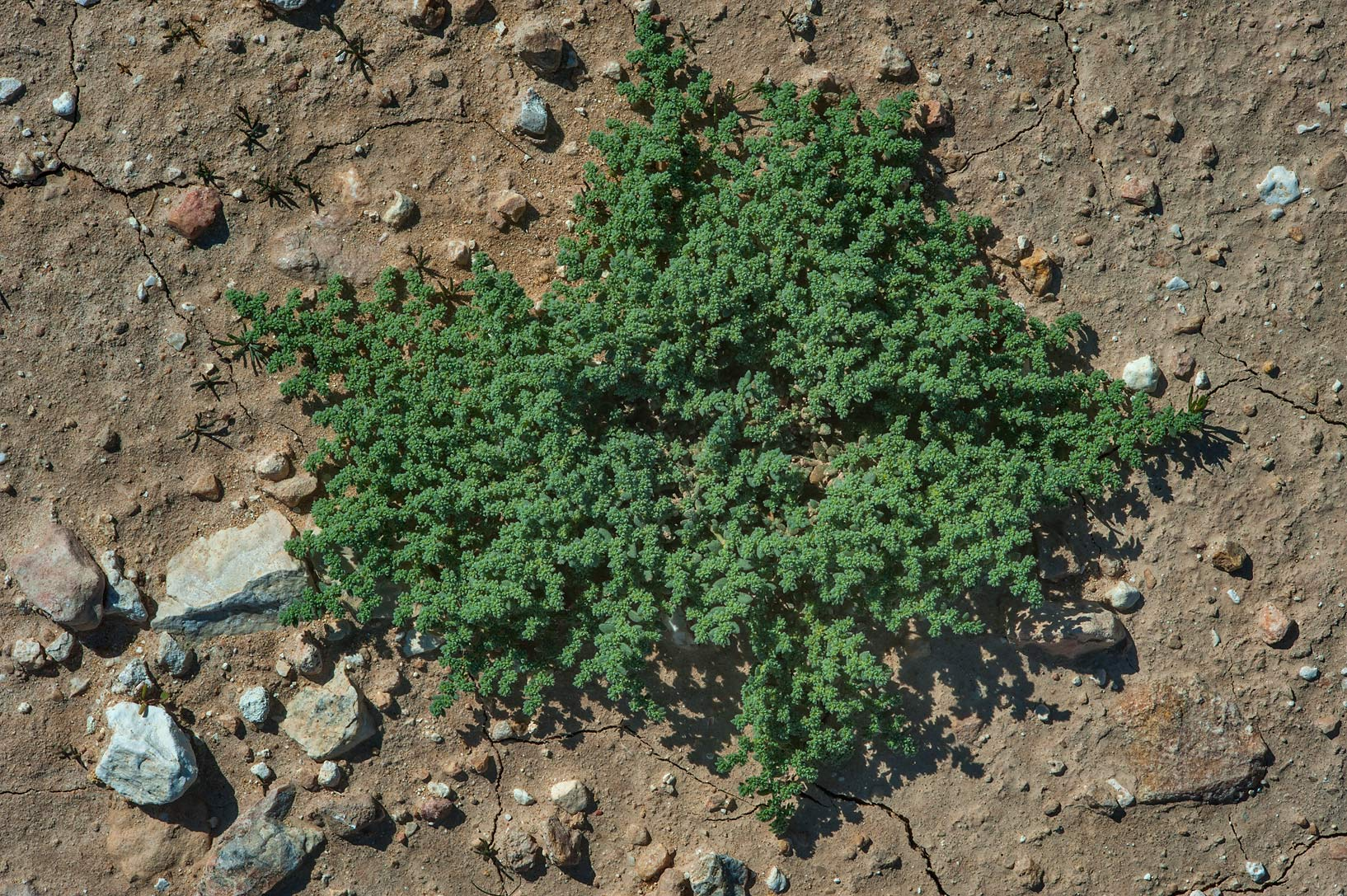 Herniaria hemistemon (local name Ghebayra) in a...near Route 77 to Ras Laffan. Qatar