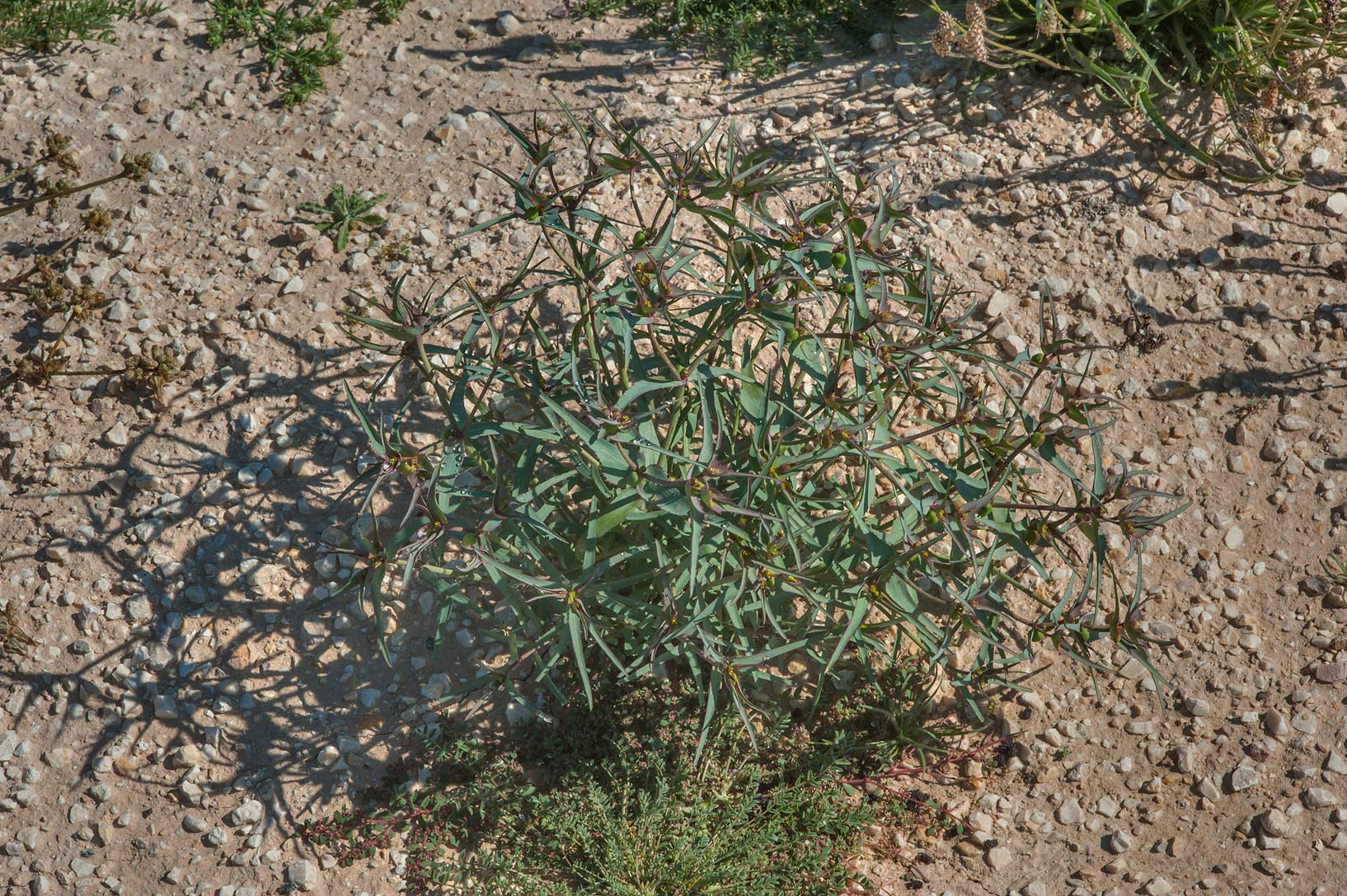 Rare spurge Euphorbia retusa in a large roadside...near Route 77 to Ras Laffan. Qatar