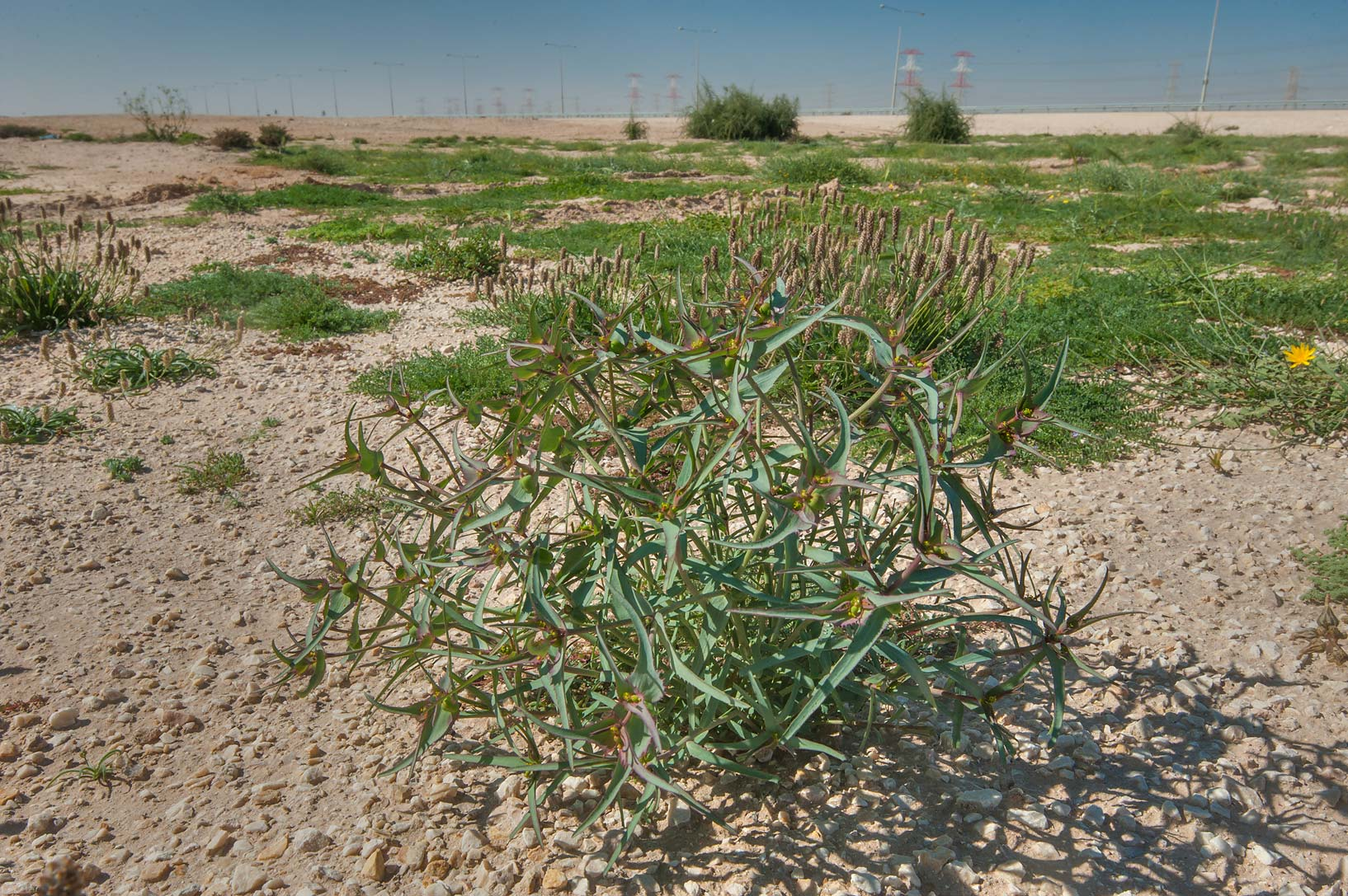Spurge Euphorbia retusa in a large roadside depression near Route 77 to Ras Laffan. Qatar