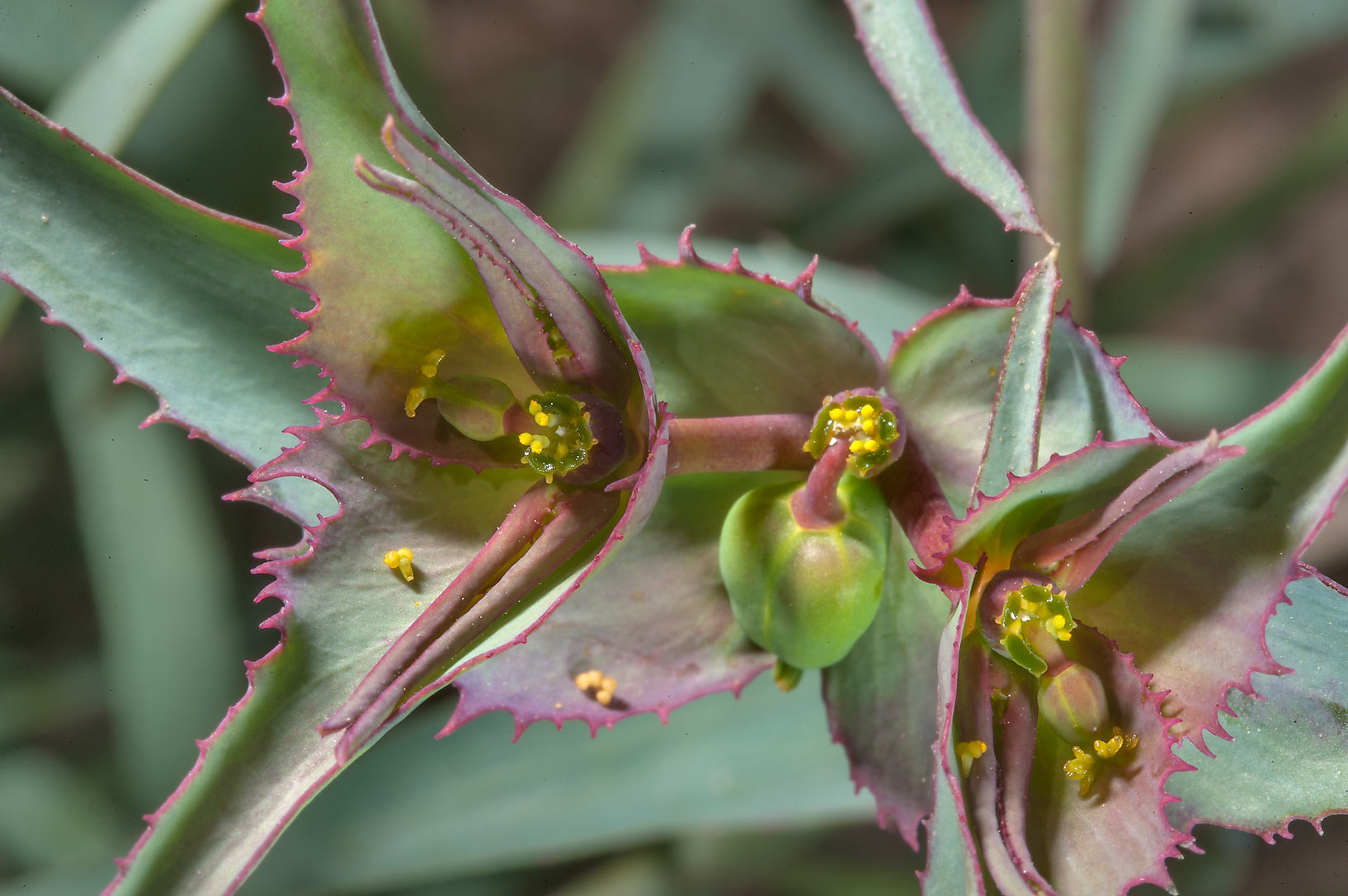 Flowers and fruits of spurge Euphorbia retusa in...near Route 77 to Ras Laffan. Qatar