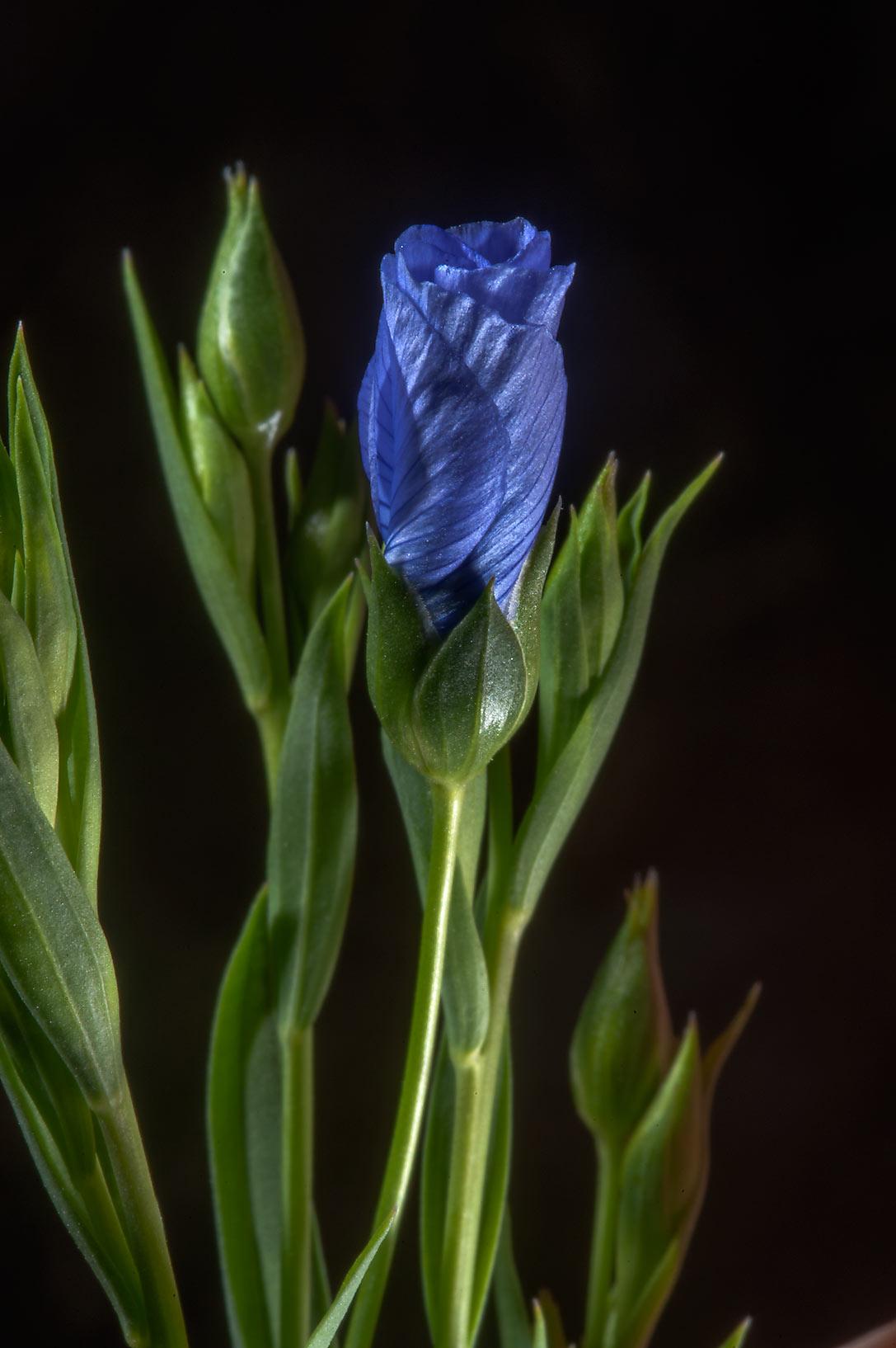 photo 175203 flax linum usitatissimum starting to